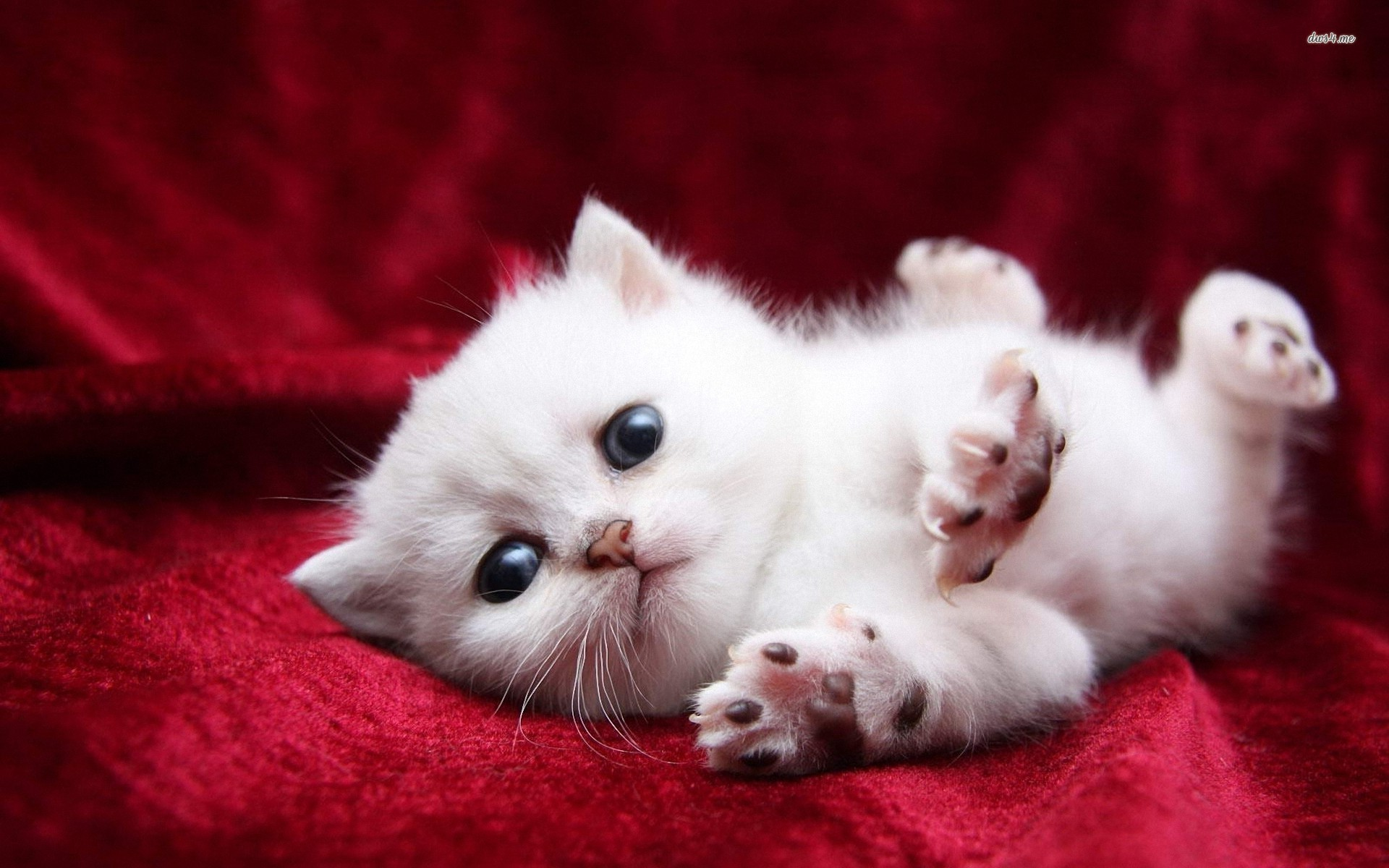 White Cats And Kittens Wallpapers