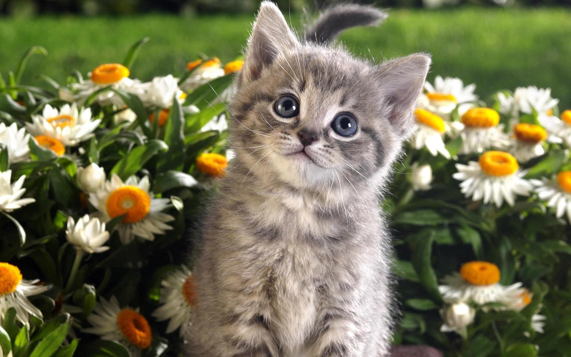 Tabby kitten and spring flowers wallpaper