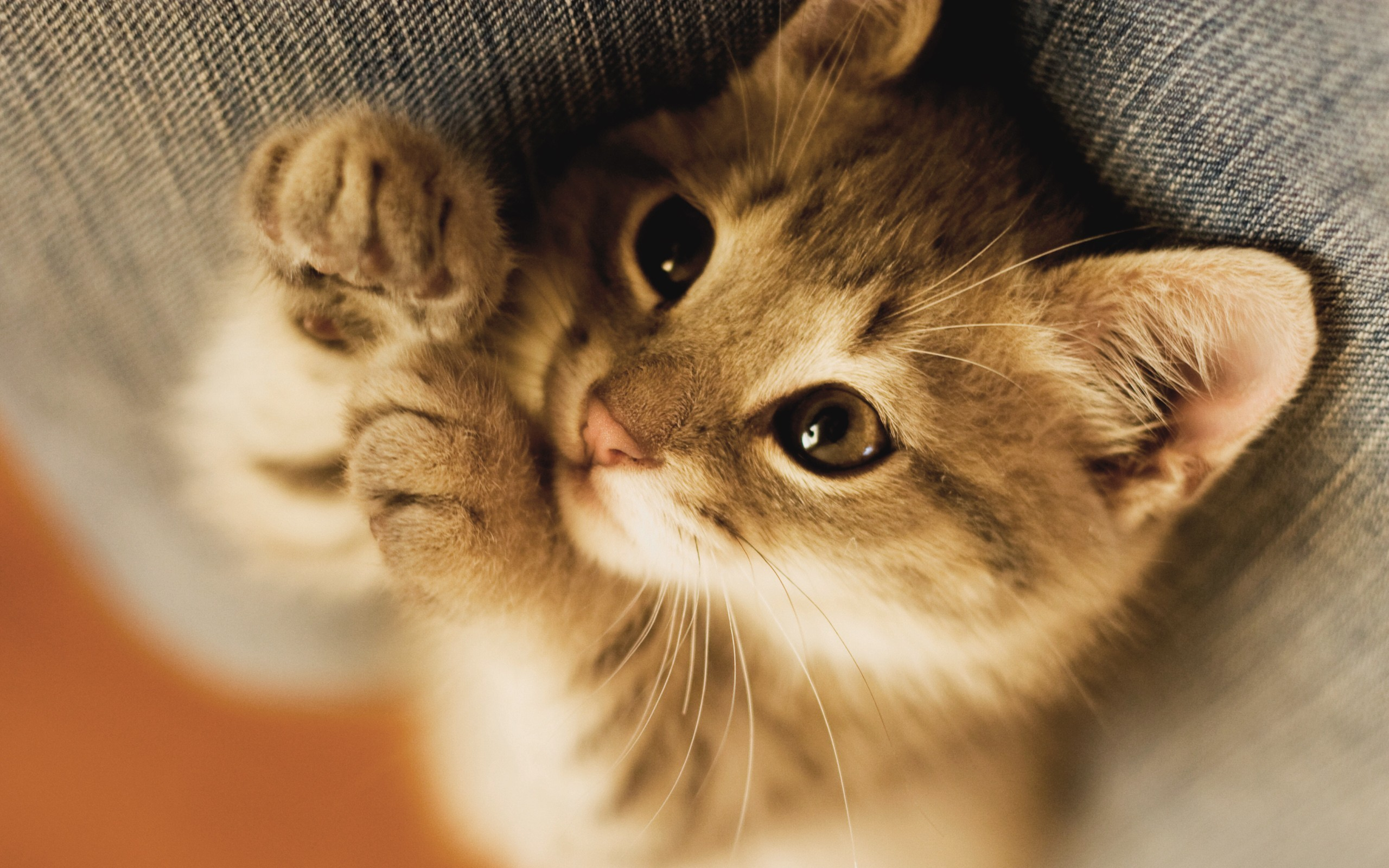 Image – Cats-and-kittens-wallpapers-hdkitten-cat-big-
