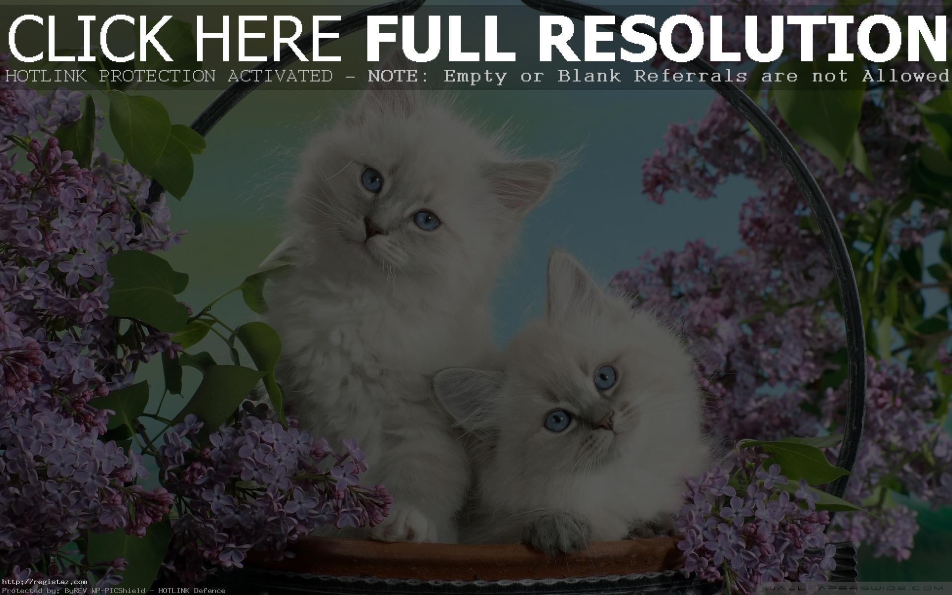persian kittens wallpaper white cat