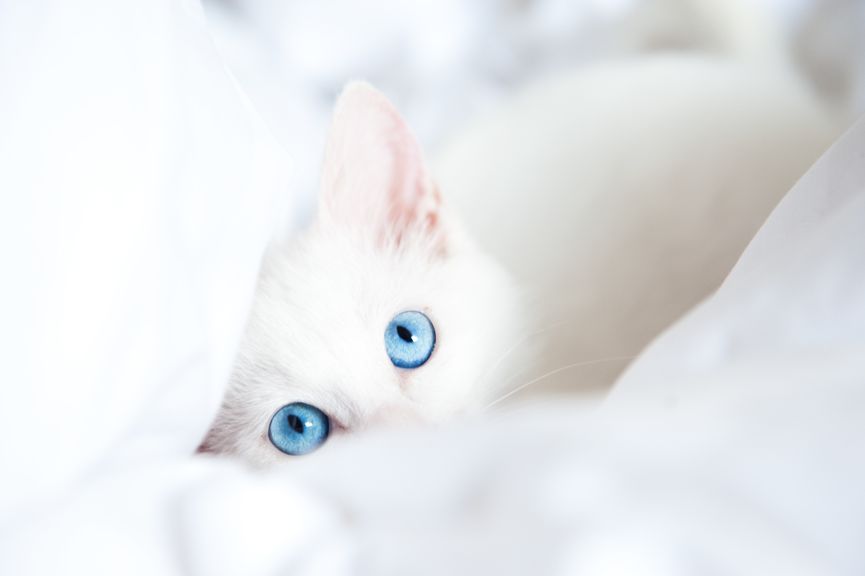 Cats Eyes Glance White Animals kitten kittens baby wallpaper .