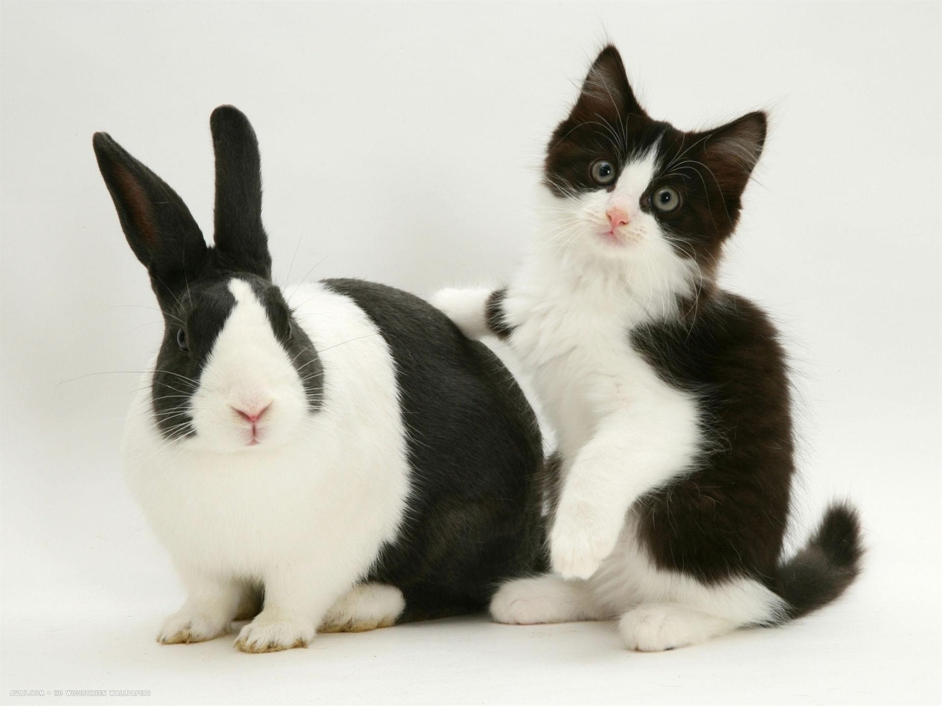 black dutch rabbit with black and white kitten desktop wallpaper