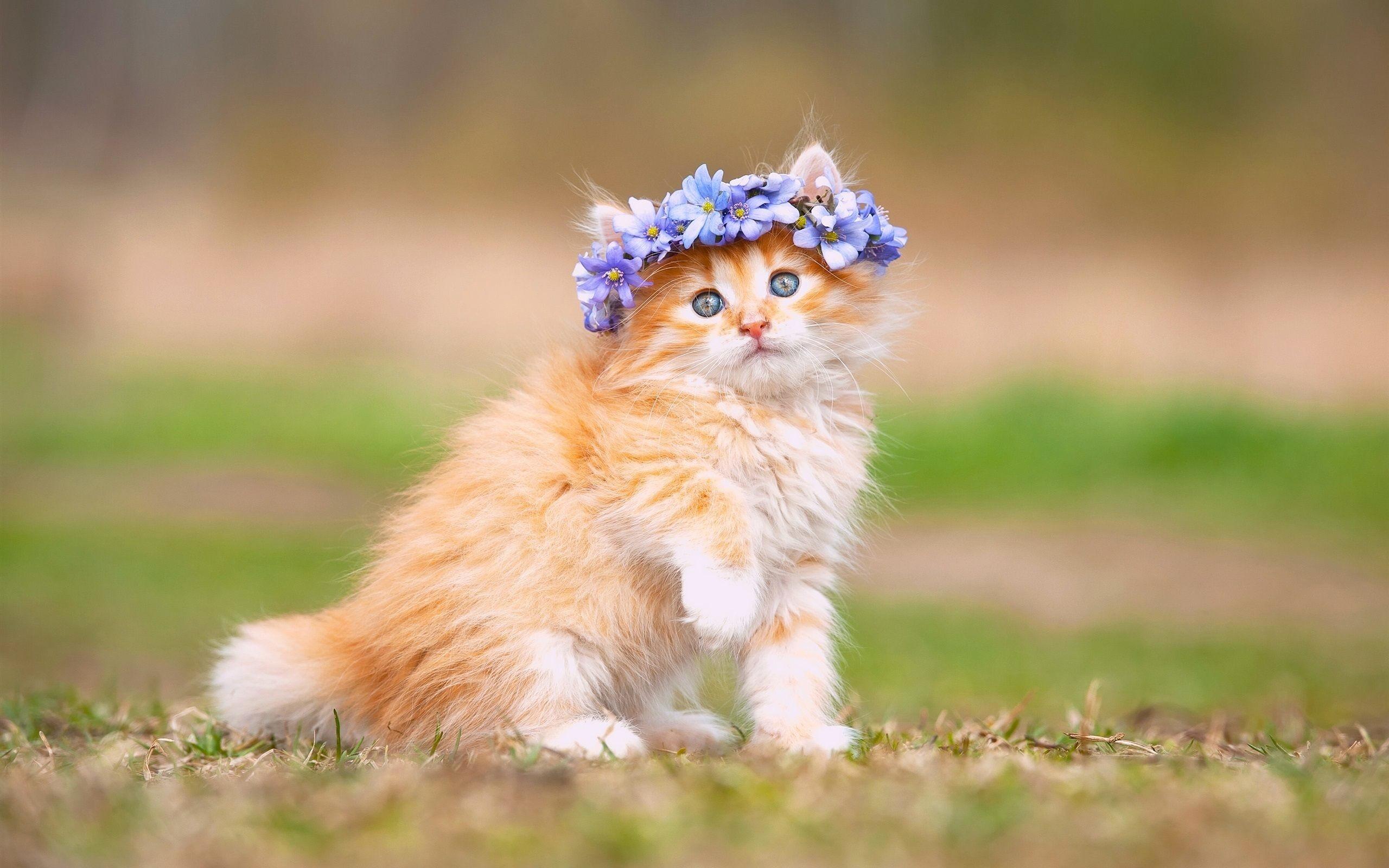 … Maine Coon Kitten Wallpaper
