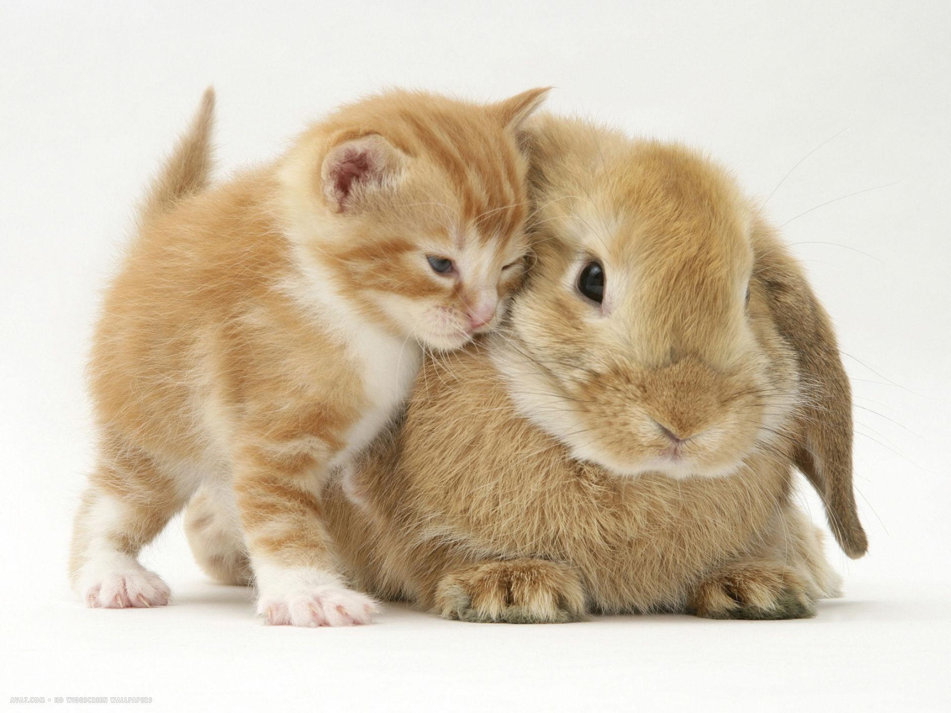 domestic kitten felis catus next to bunny domestic rabbit