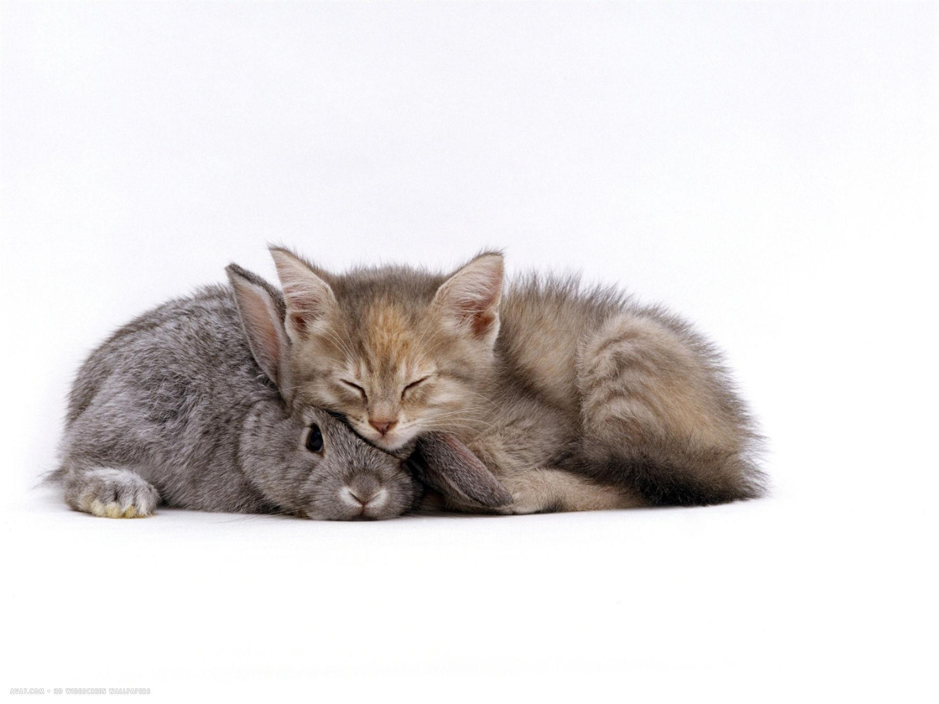 silver tortoiseshell kitten with silver dwarf lop eared rabbit