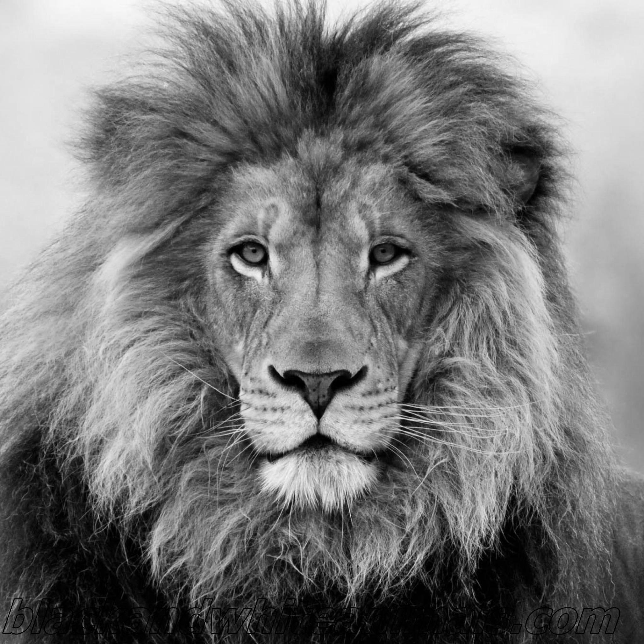 blackandwhitelionhd lion wallpaper black and white,pictures,photos