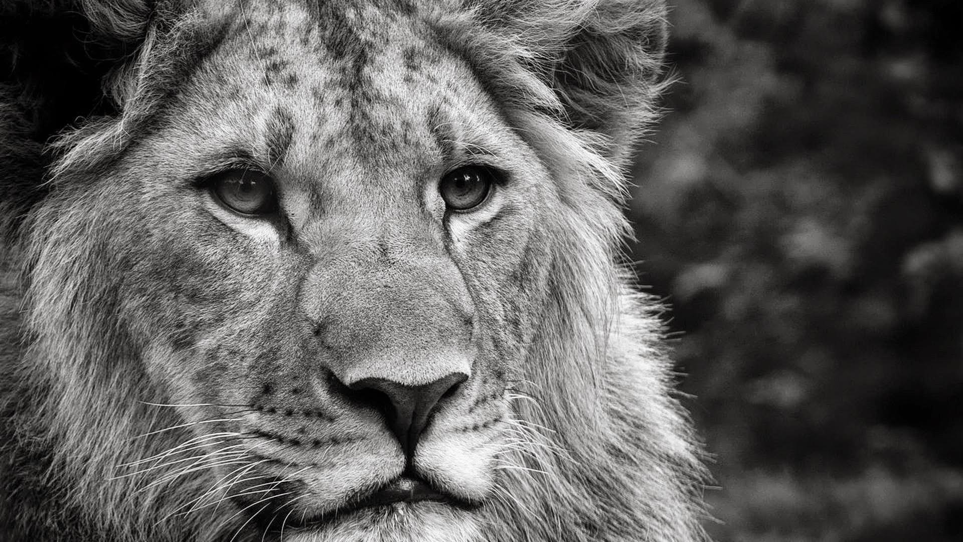 Black and white lion wallpaper