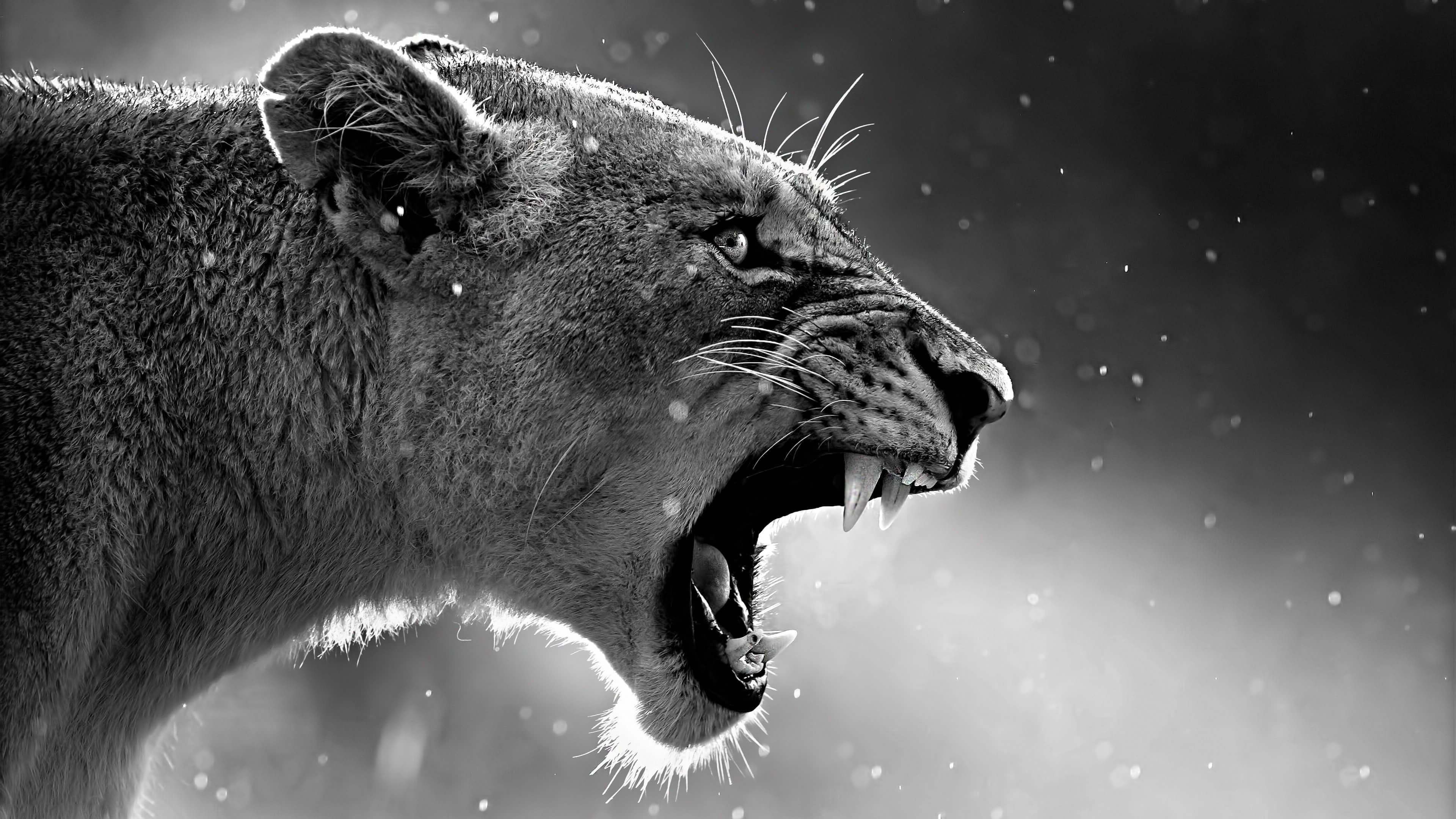 Lion Roar Wallpaper 6999190