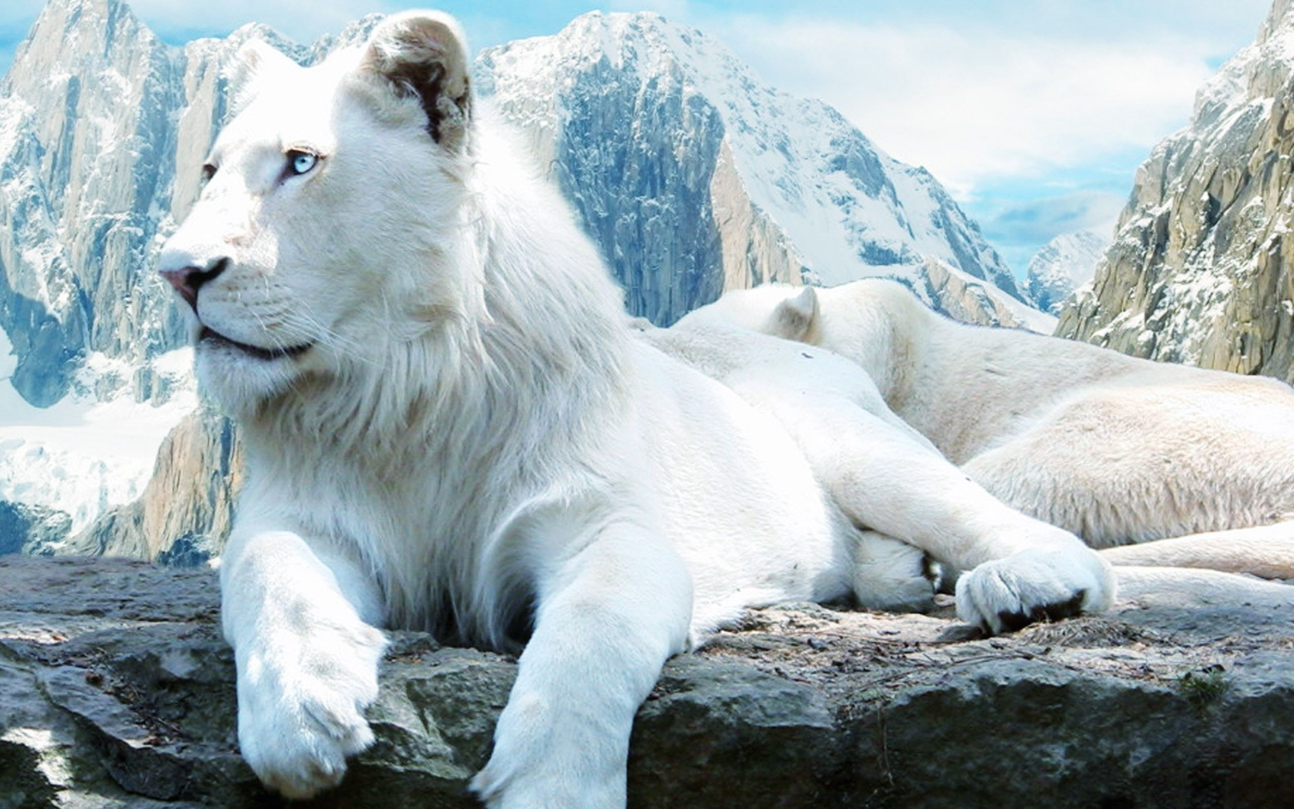 """Search Results for """"white lion wallpaper desktop"""" – Adorable Wallpapers"""