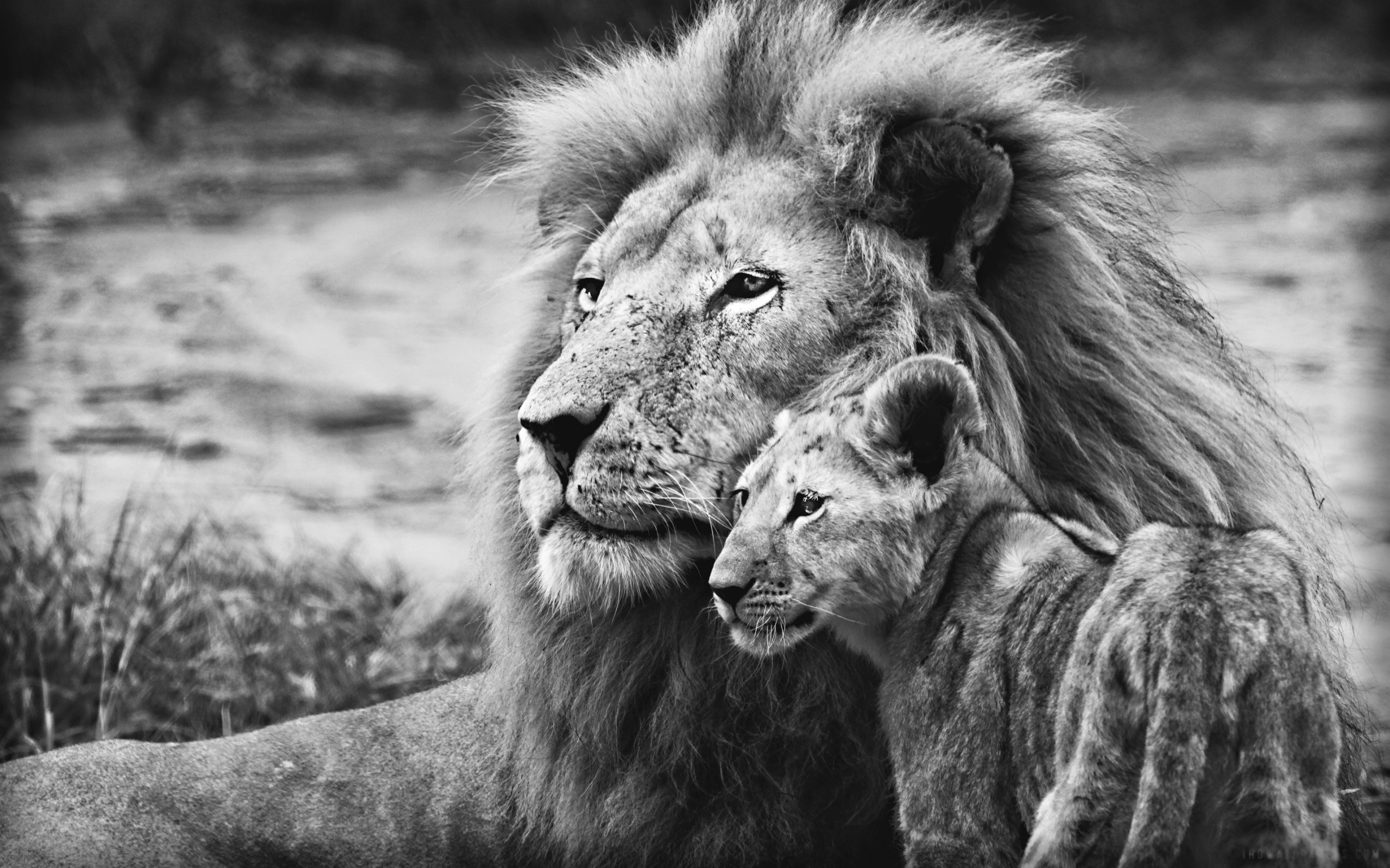 Lion cubs wallpaper hd – photo#16