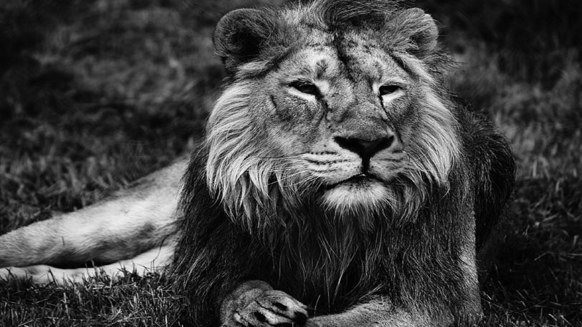 … lion-black-and-white-hd-free-wallpapers …