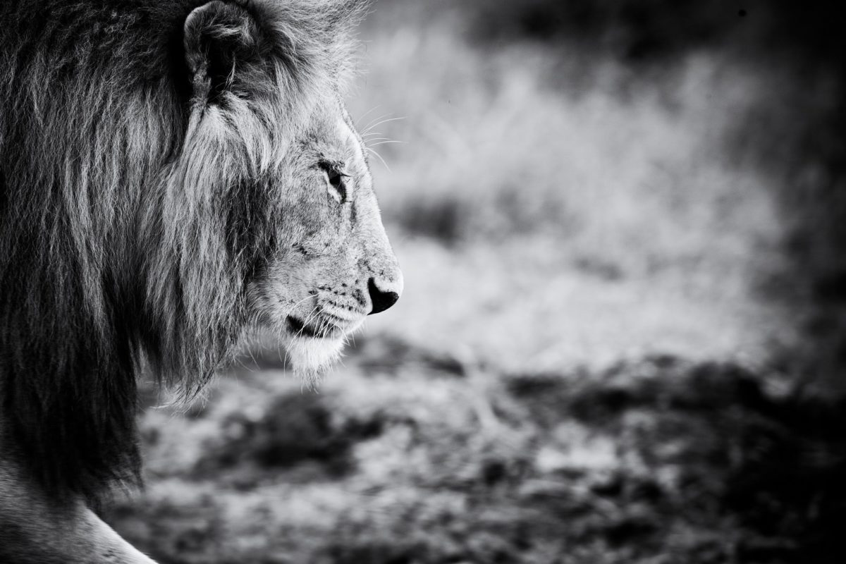 Lion Black And White Wallpaper Photo 22