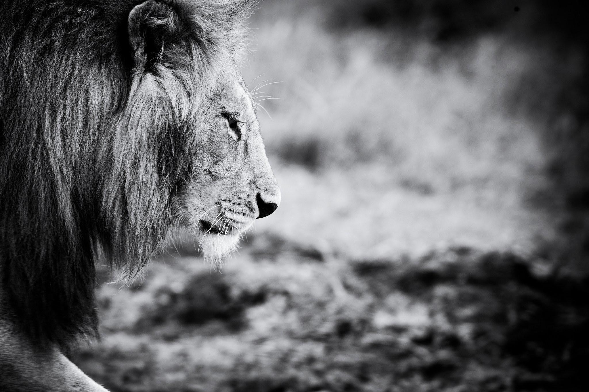 Lion black and white wallpaper – photo#22