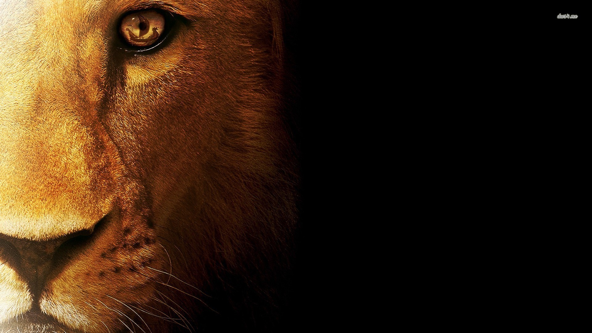Lion Wallpapers Images