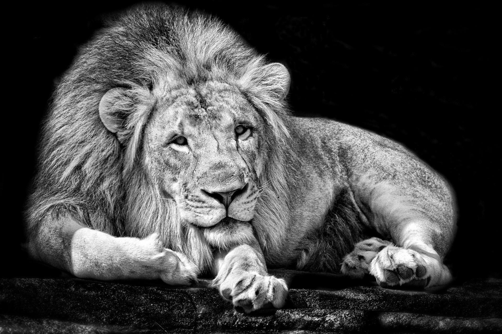 Monochrome Animals Lions Black White