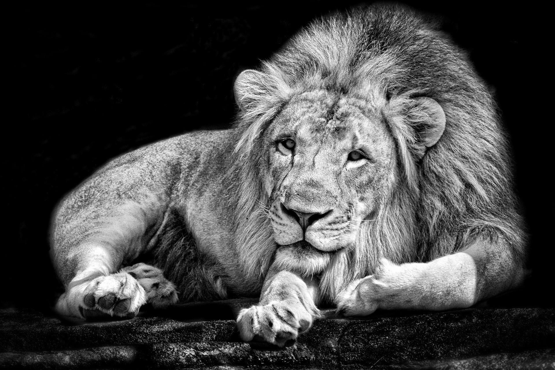 Lion wallpaper black and white hd – photo#27