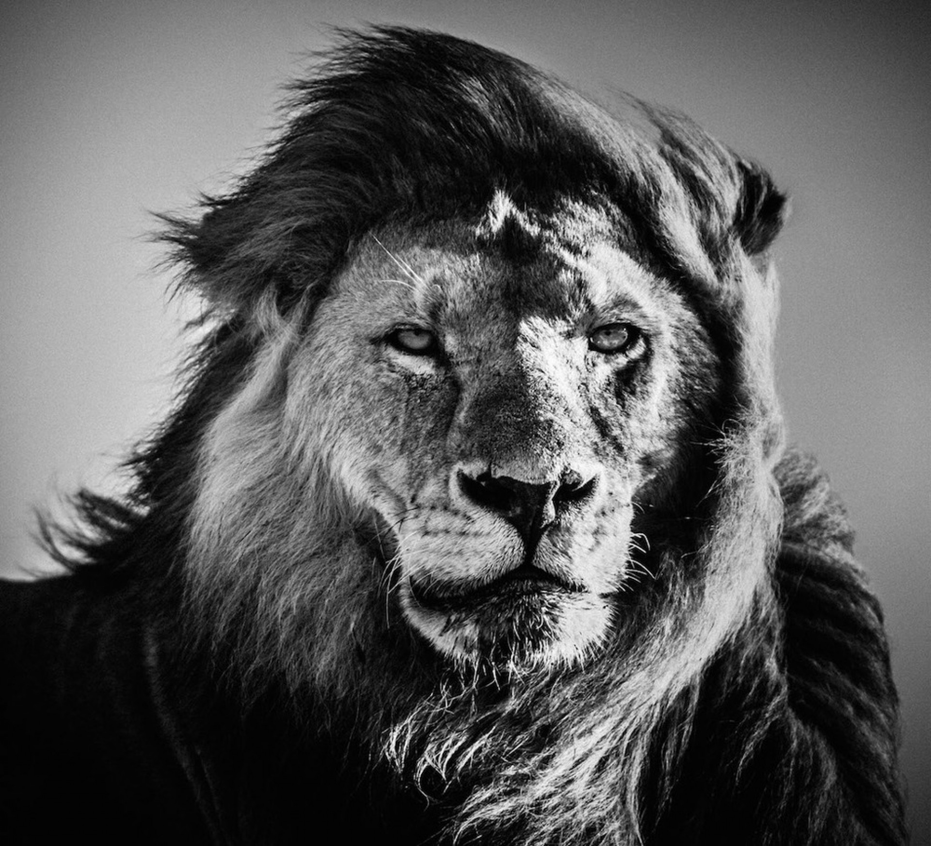 Download Black And White Photography Lion Wallpapers HD for Mobile