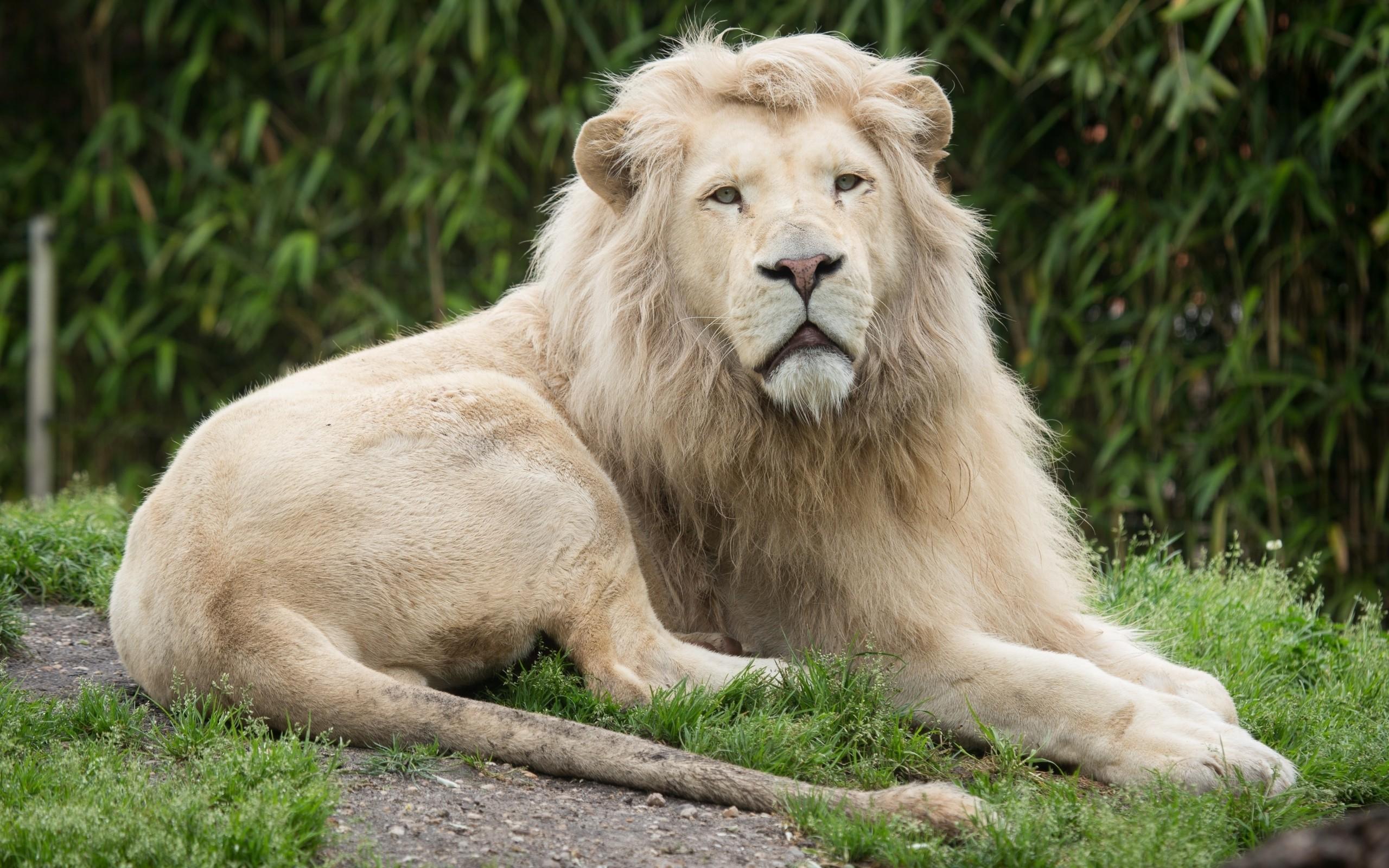 White lion wallpaper #29725