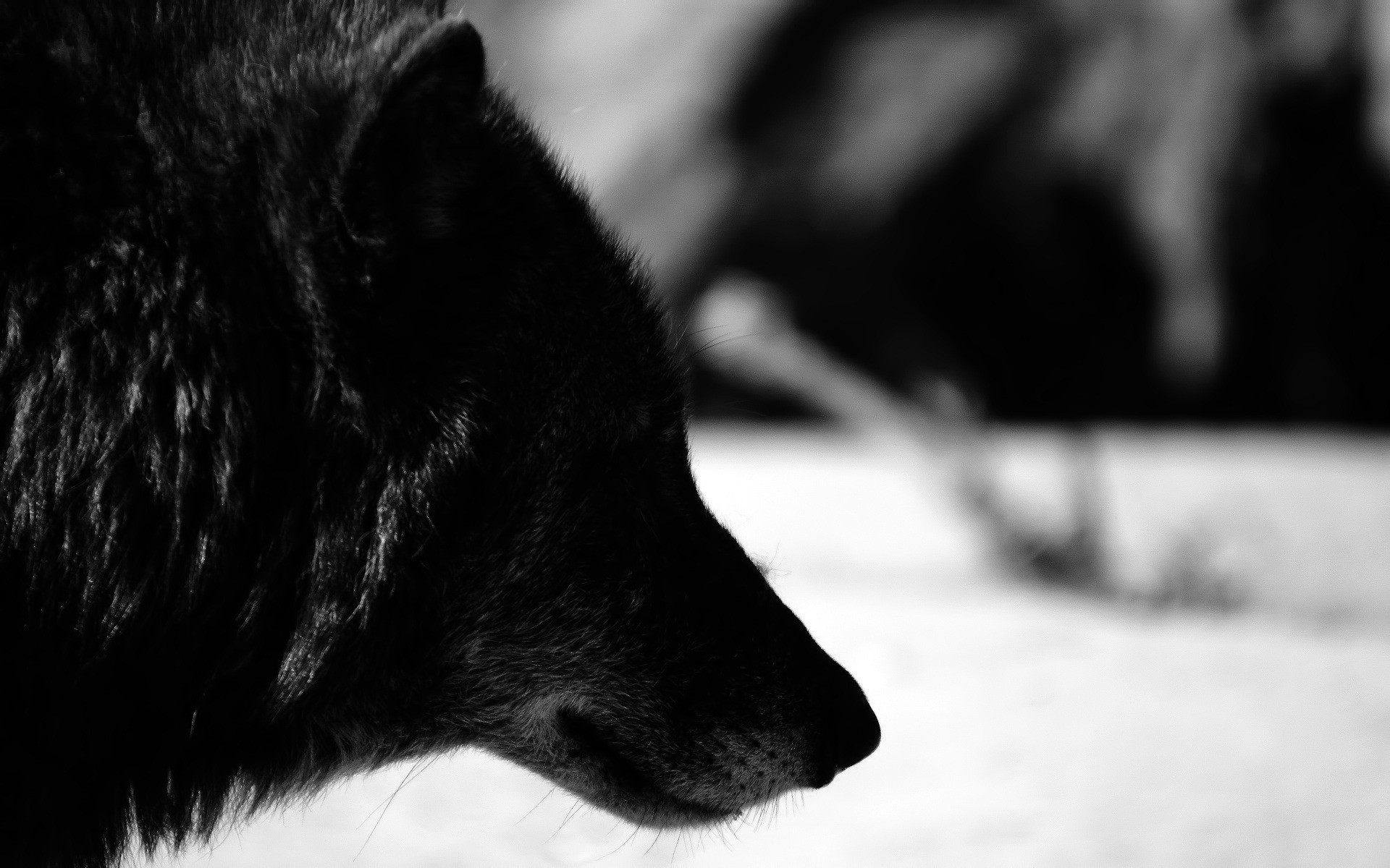 Black Wolf Wallpaper 32443