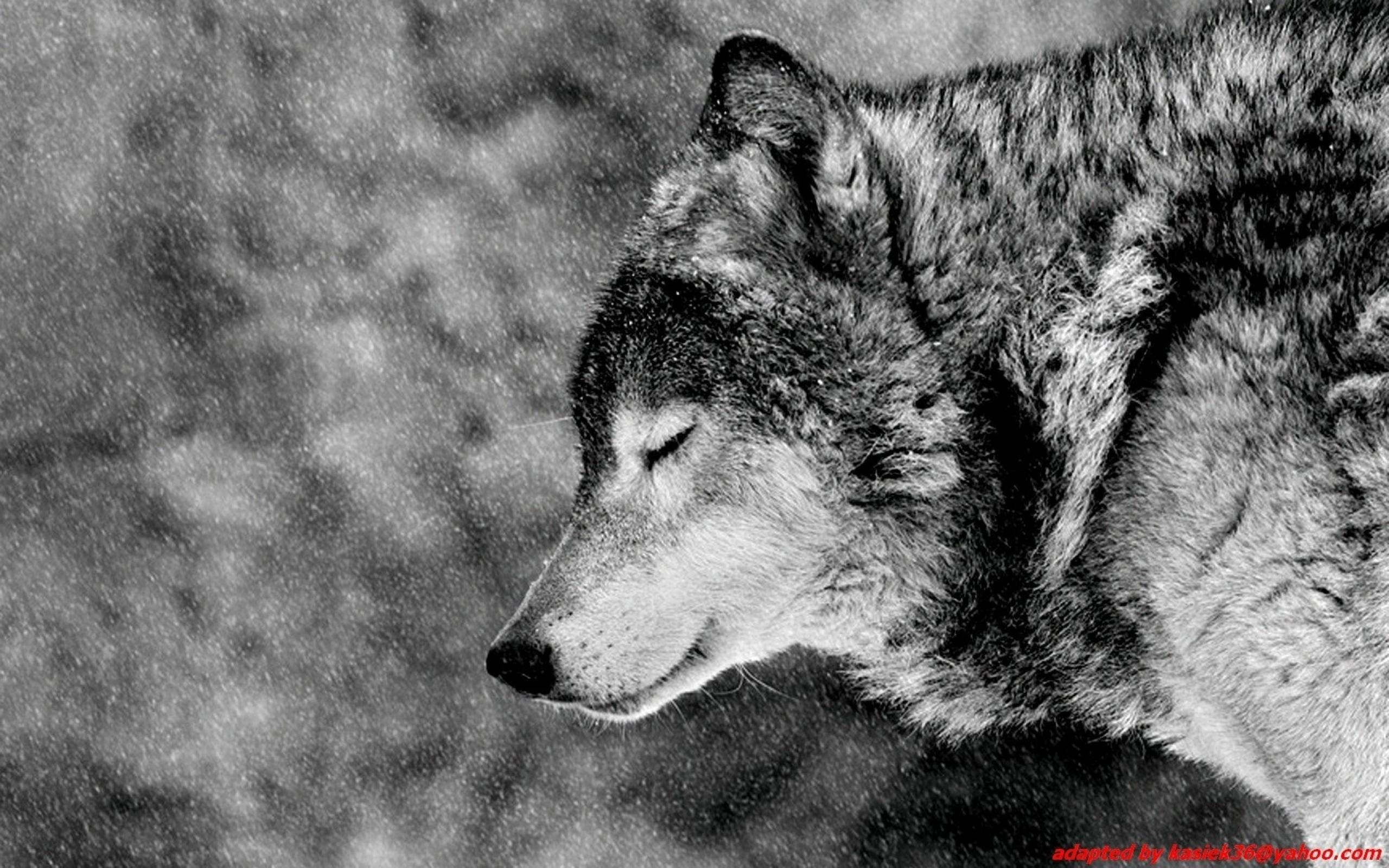 Images For > Alpha Wolf Wallpaper Hd