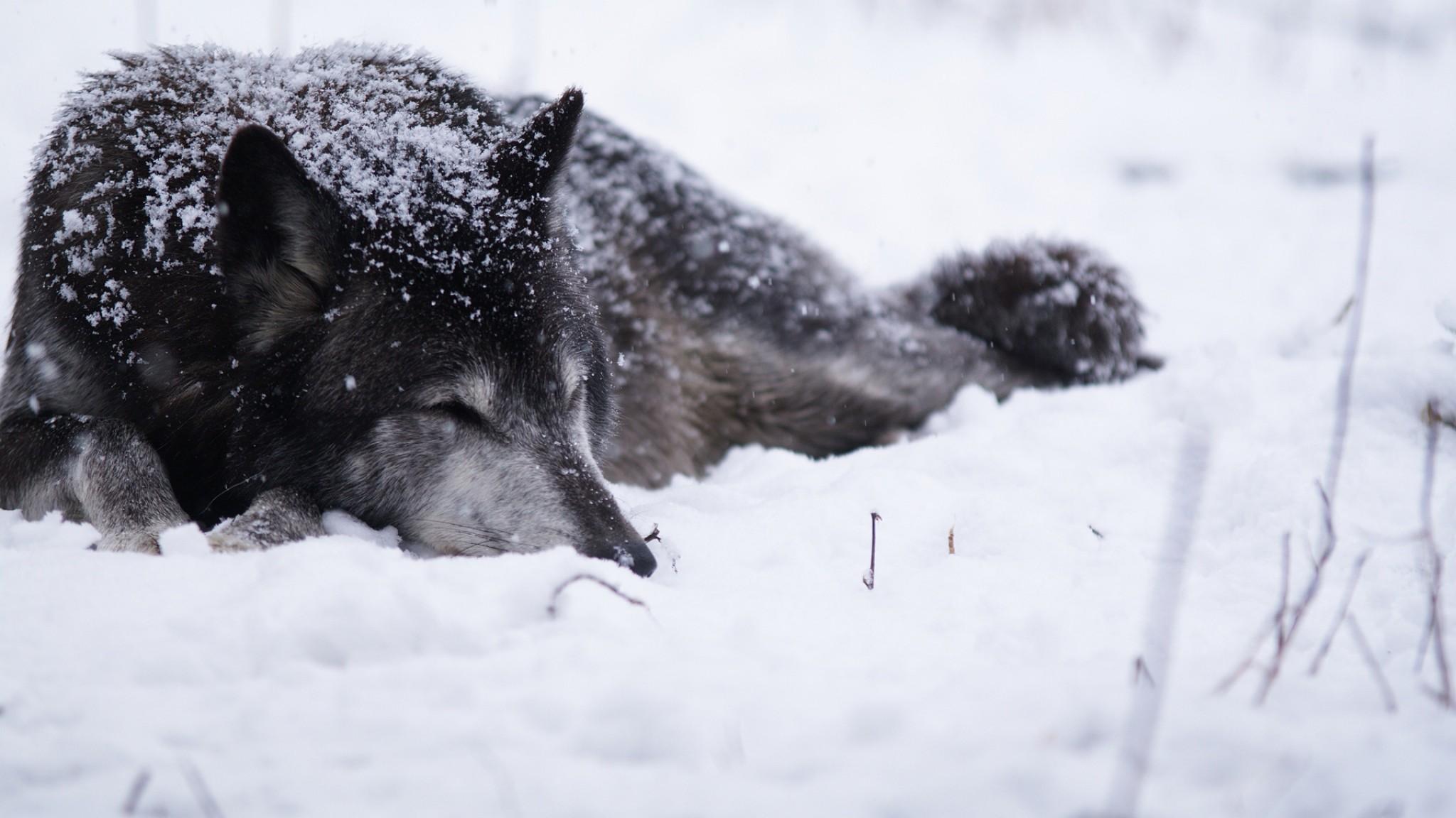 Preview wallpaper wolf, snow, blizzard, cold, warm, black white 2048×1152