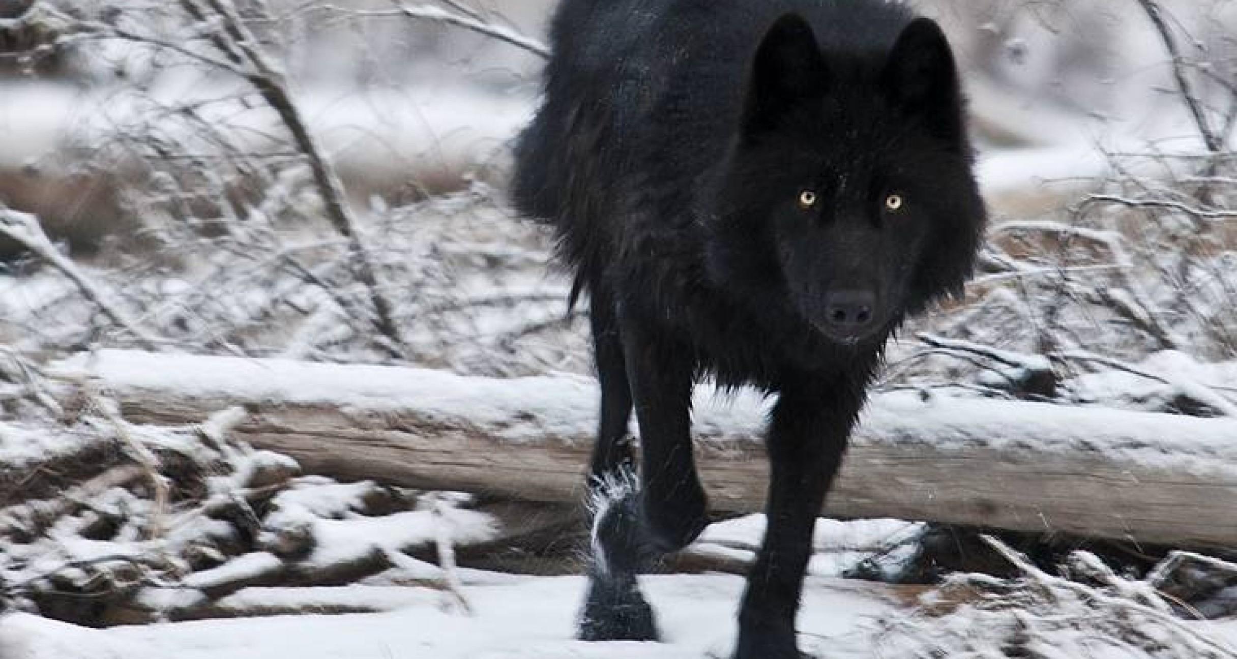 lone black wolf wallpaper