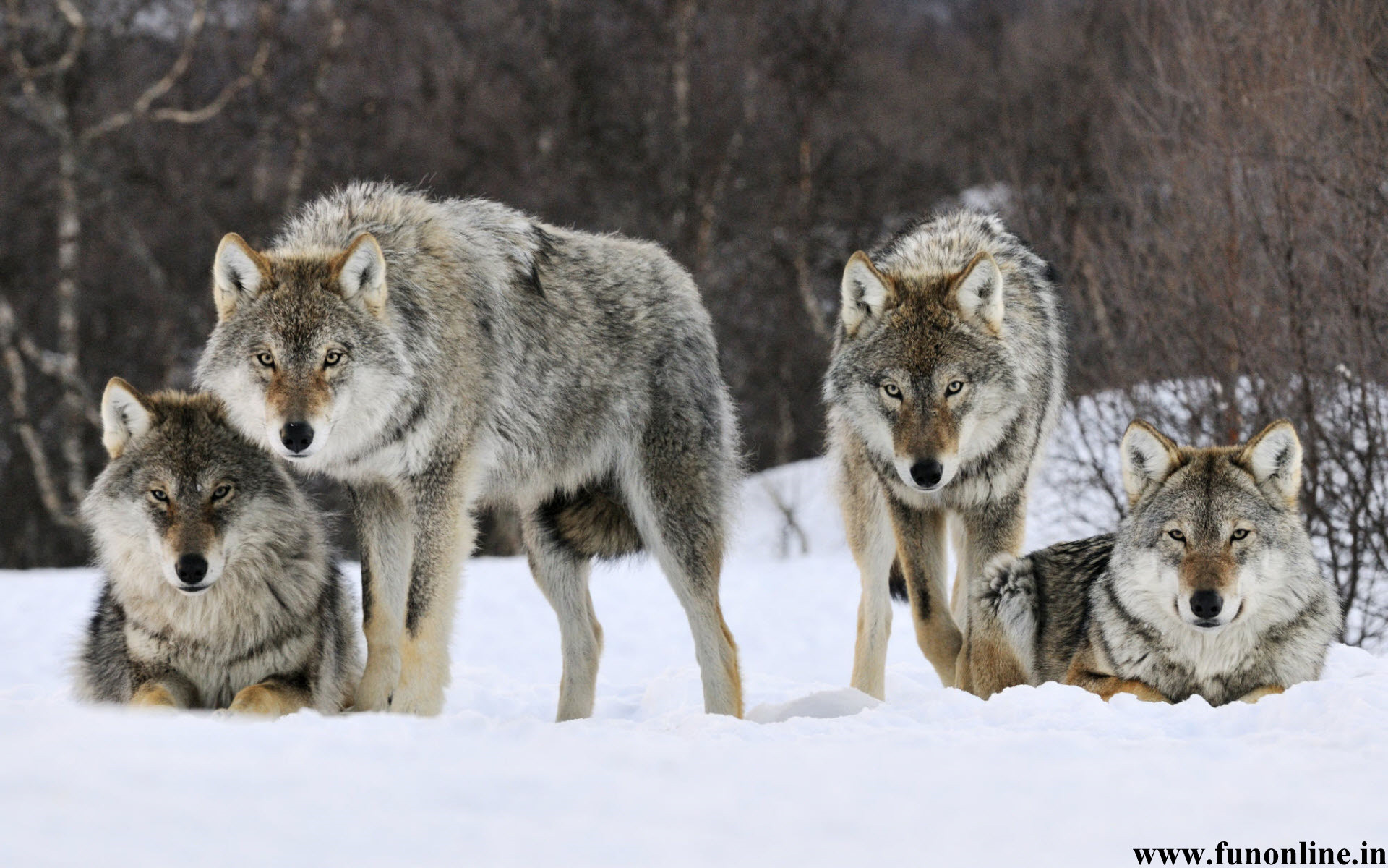 Wolf Wallpapers, Download Black, White and Grey Wolfs HD Wallpapers .