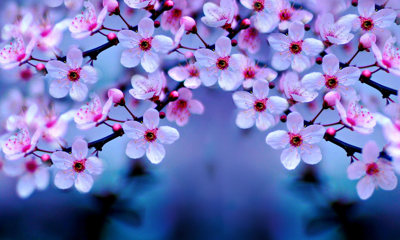 Cherry Blossom Wallpaper Night #1185 Wallpaper | kariswall.com