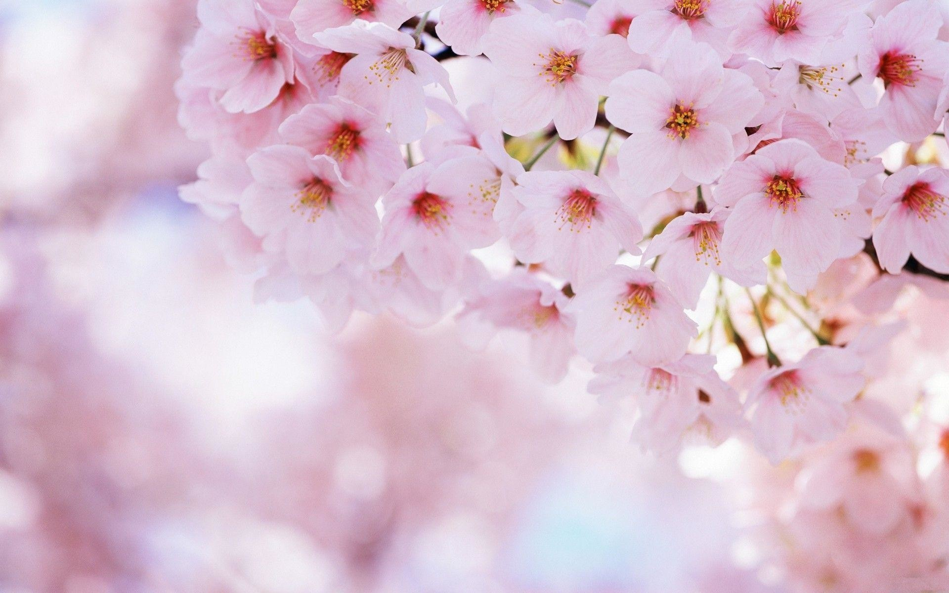 Wallpapers For > Anime Cherry Blossoms Wallpaper