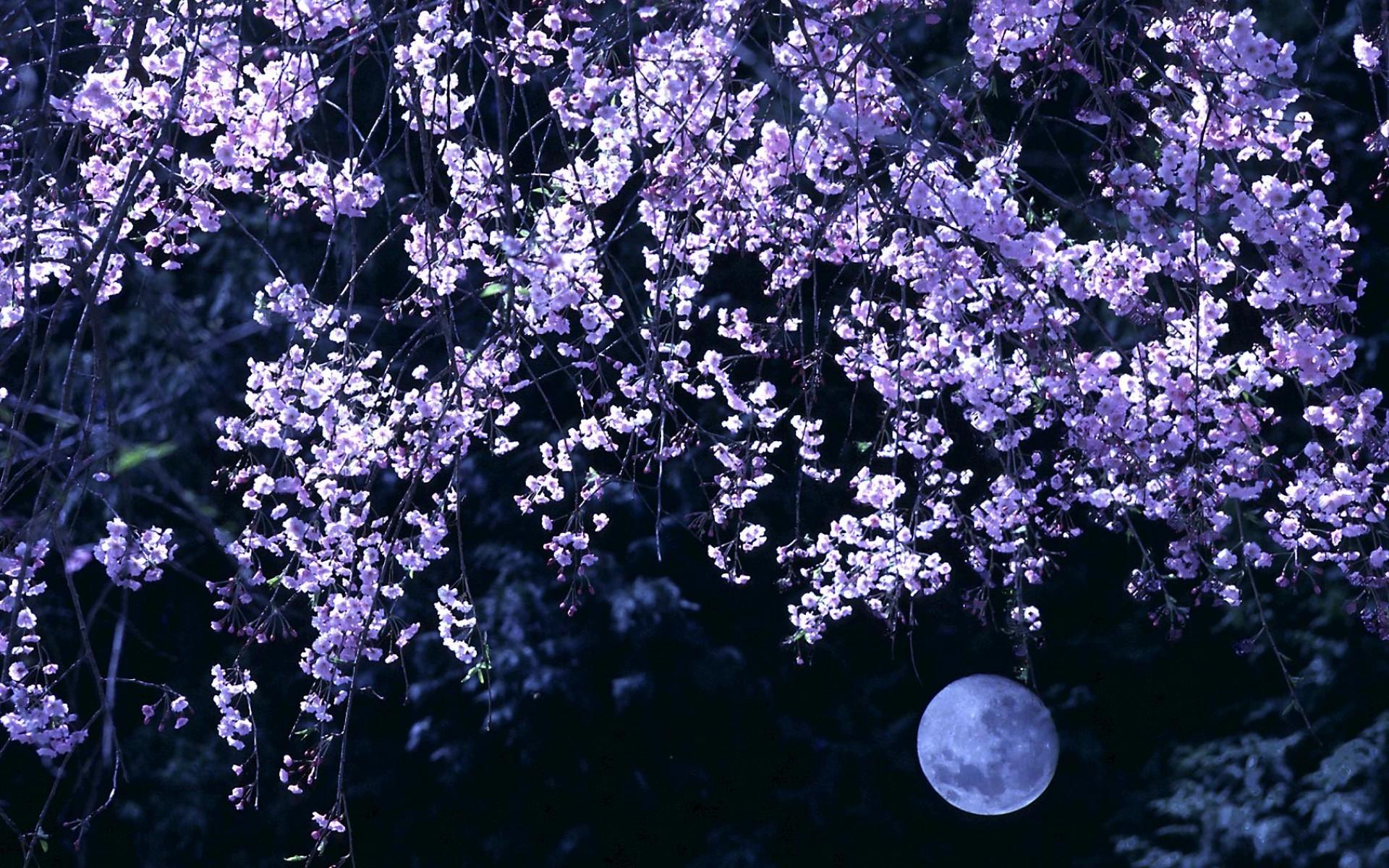 Cherry Blossom Moon wallpaper