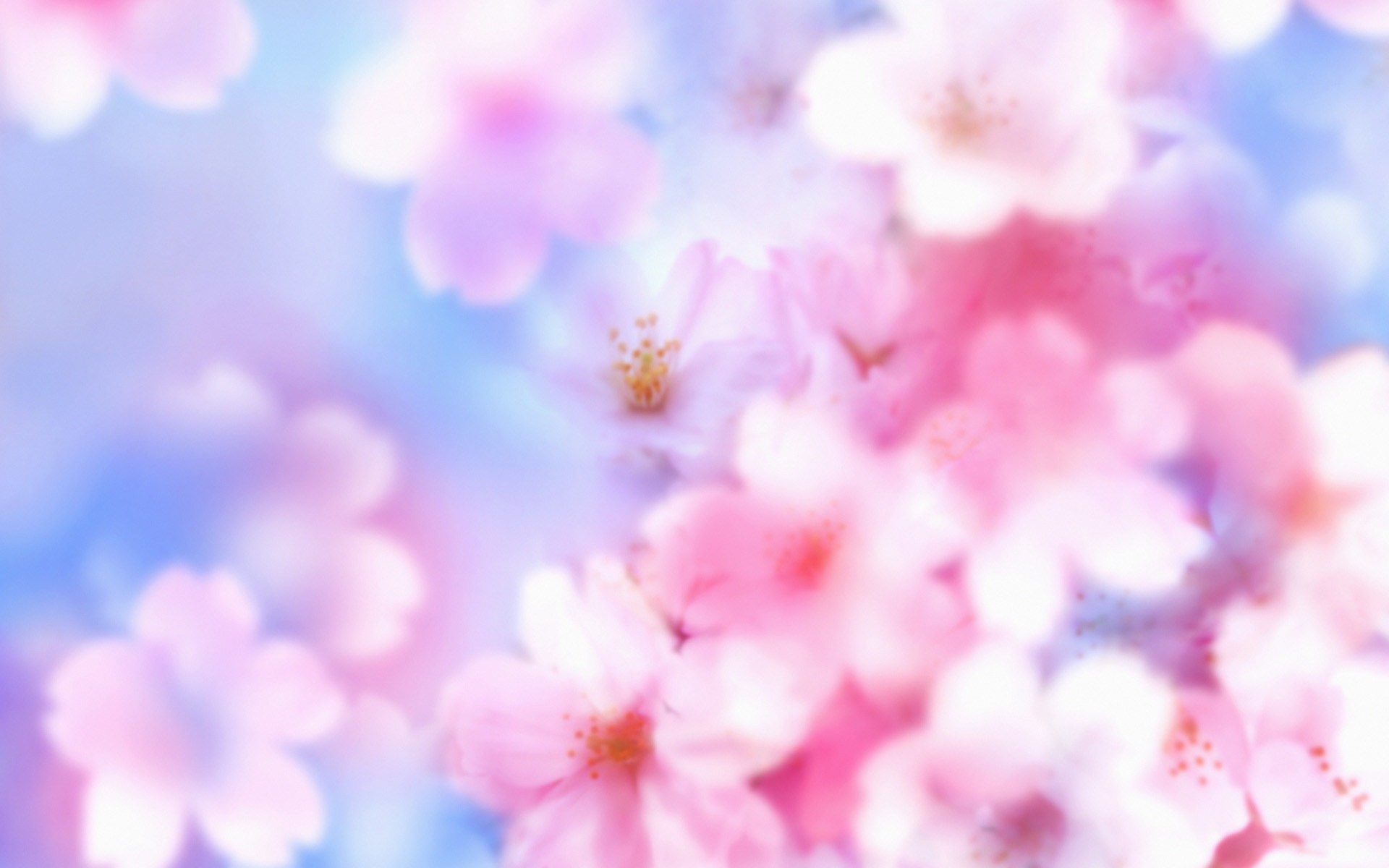 free download cherry blossoms flowers hd pictures