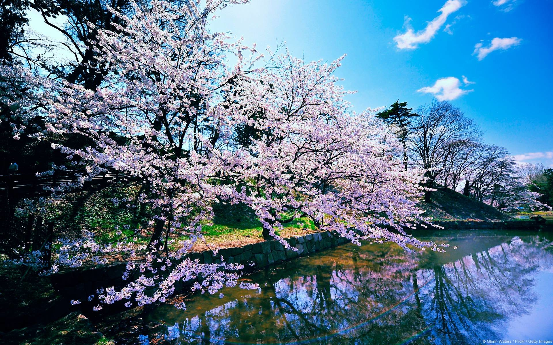 Cherry Blossom Tree Backgrounds (17 Wallpapers)