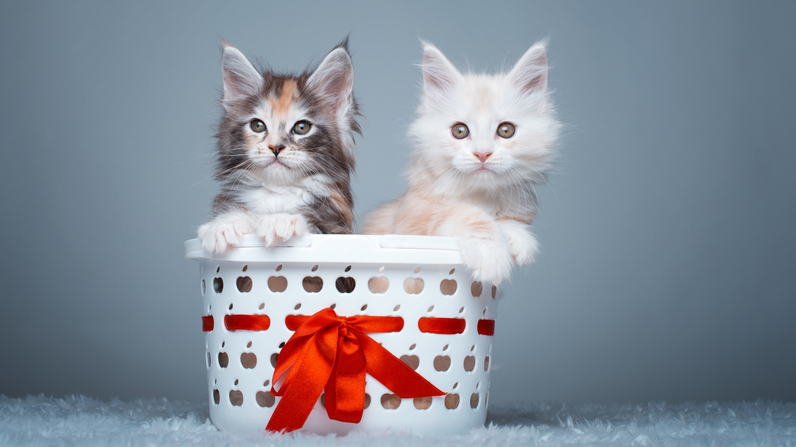 Animals / Maine Coon Cats Wallpaper