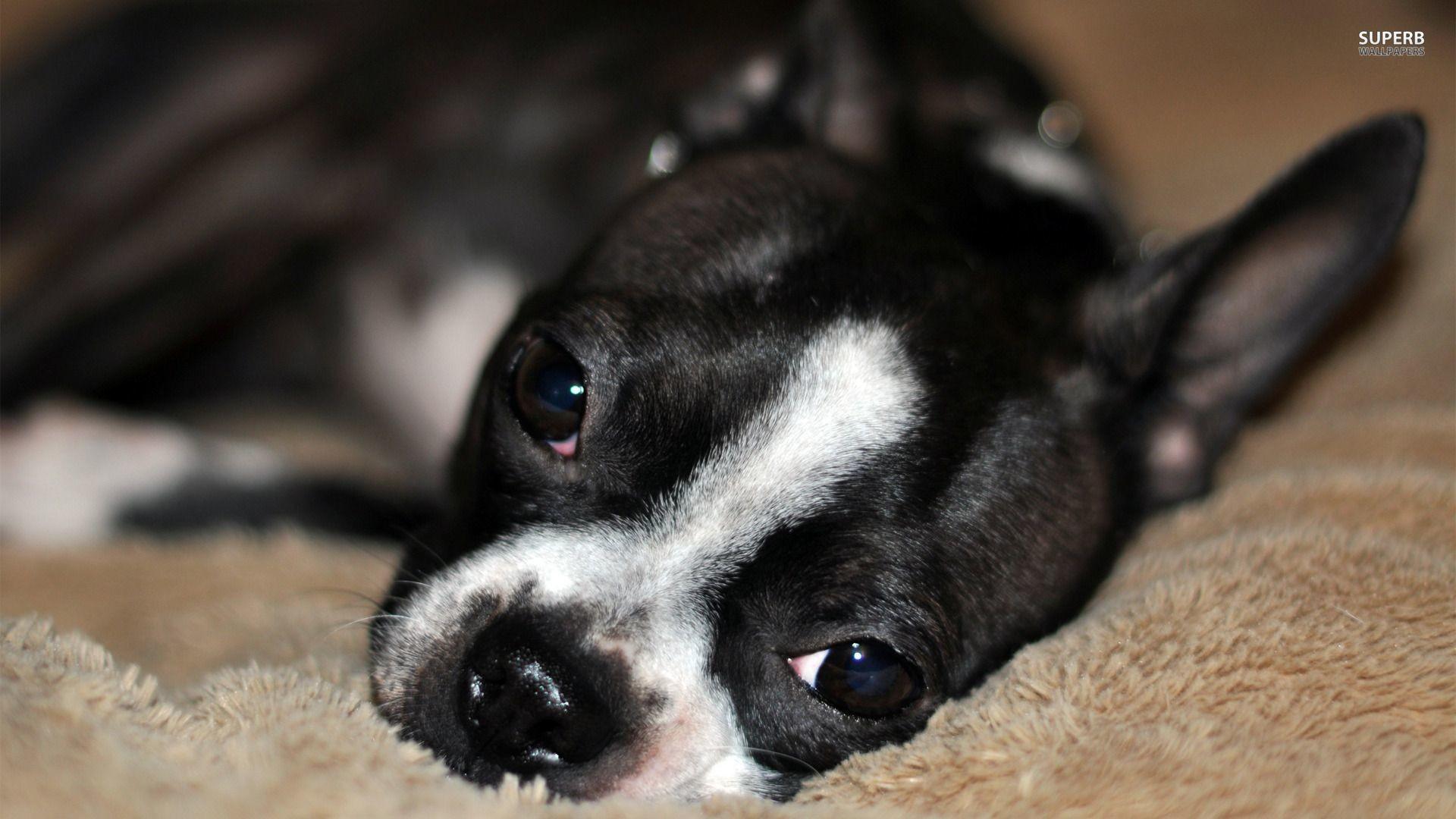 Wallpaper Boston Terrier
