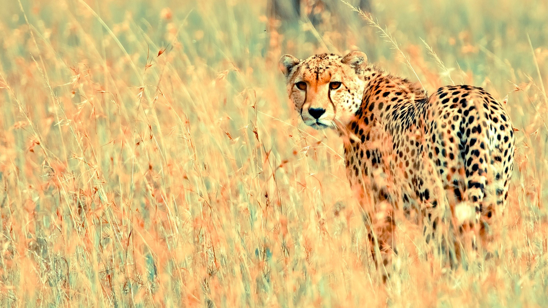 beautiful cheetah animal wallpaper | Desktop Backgrounds for Free HD  Wallpaper | wall–art