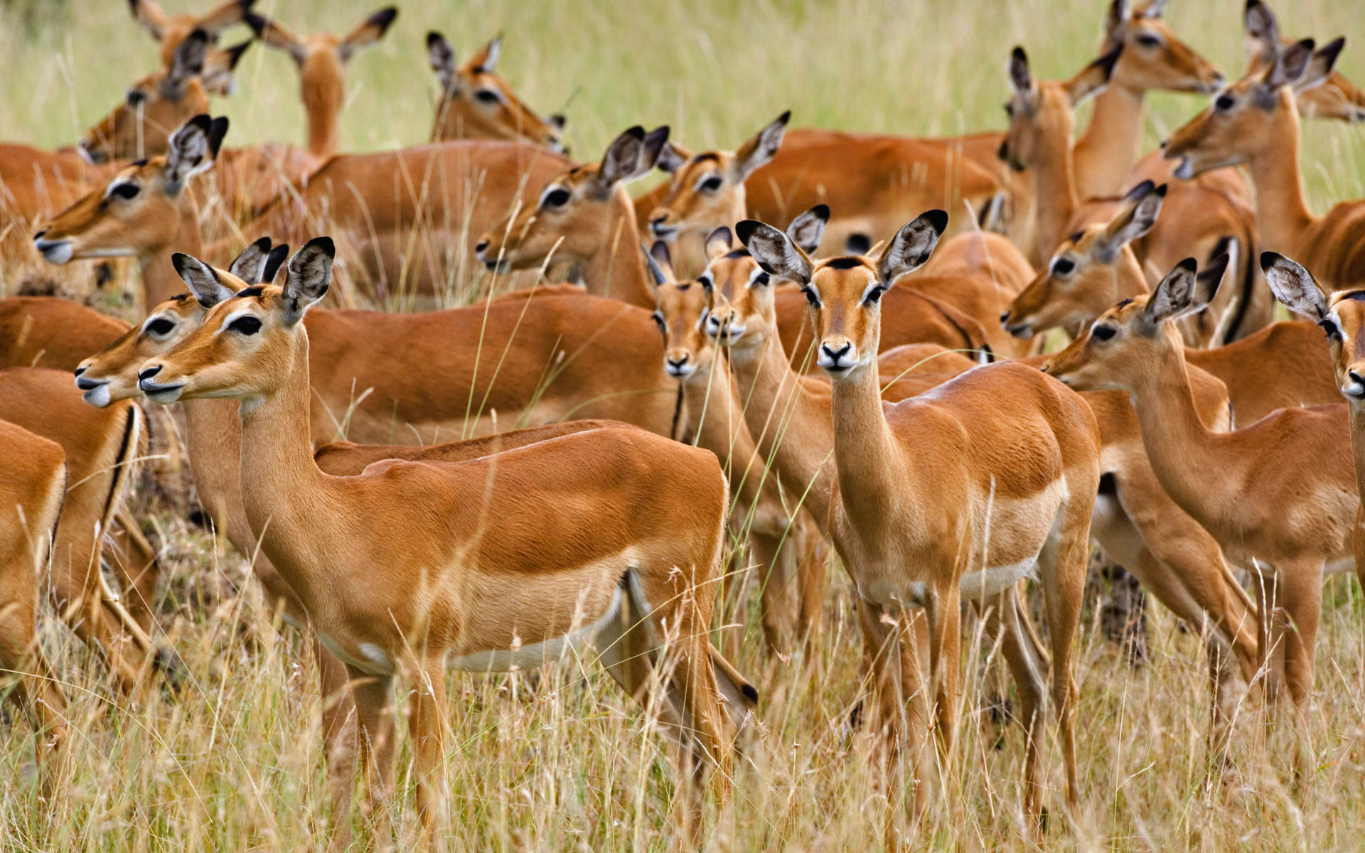 Herd of Female Impala, Masai Mara, Kenya, Africa