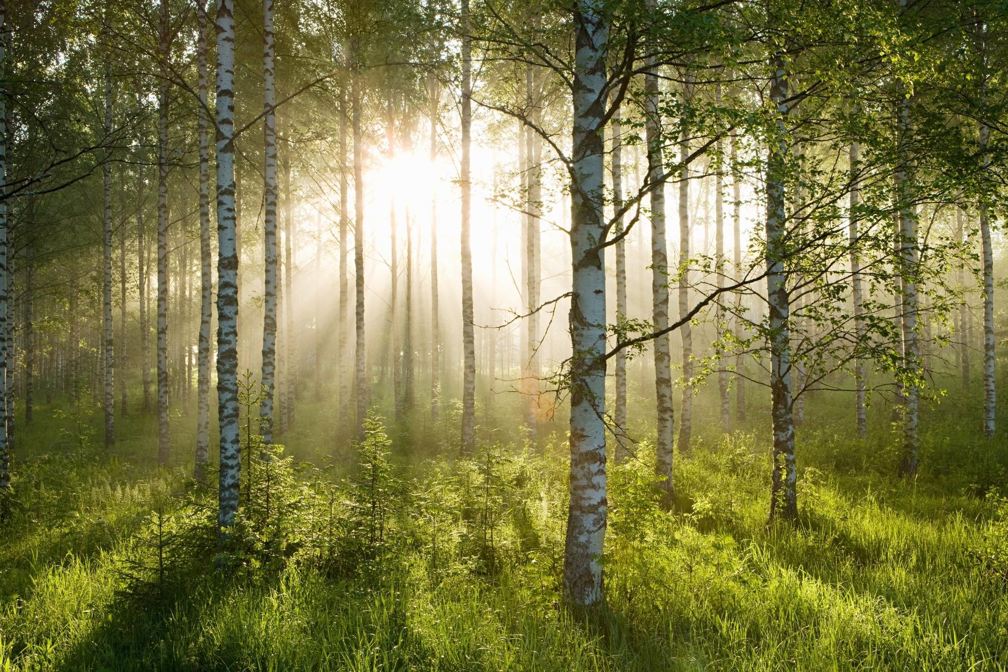 Birch Forest Sunlight Wallpaper
