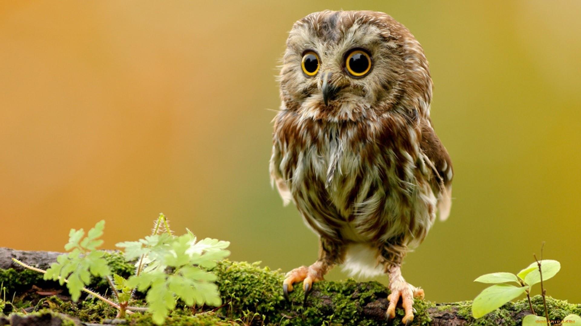 Owl Wallpaper #10 – Resolution:1920*1080