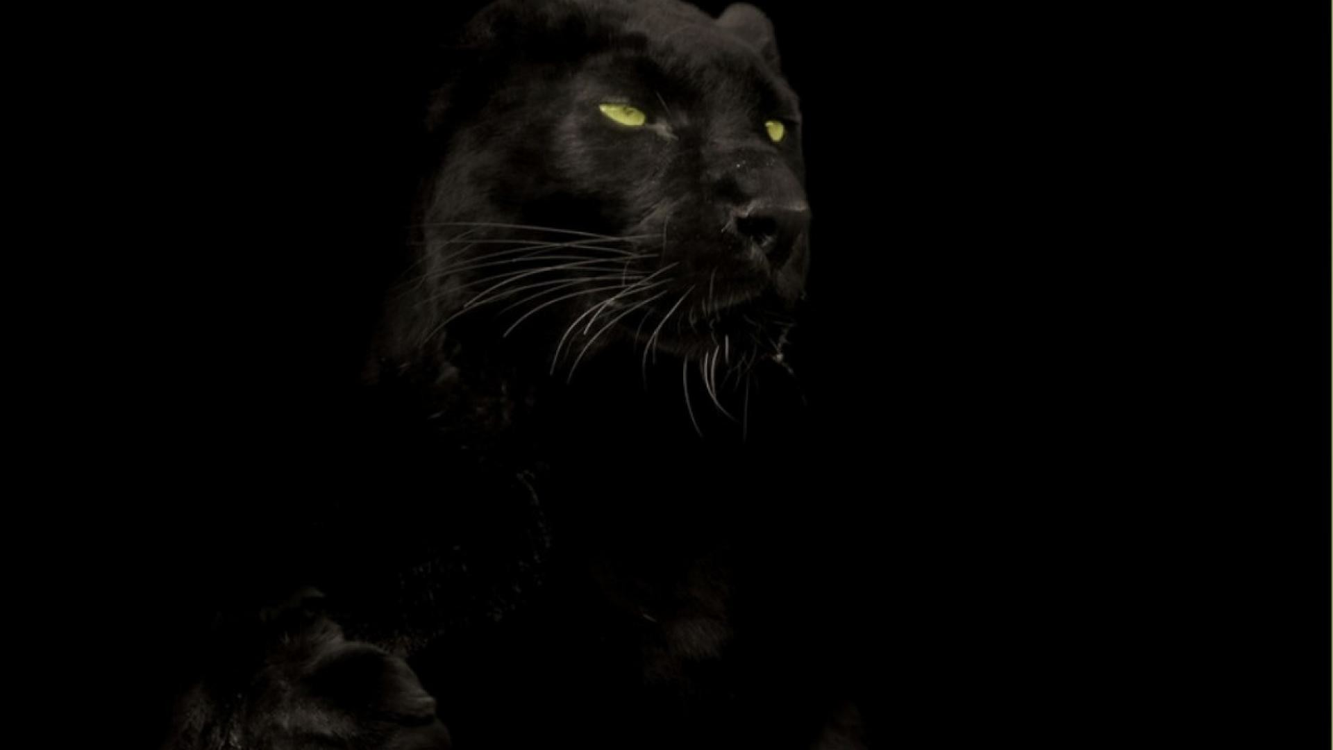 Cats animals black panther wallpaper