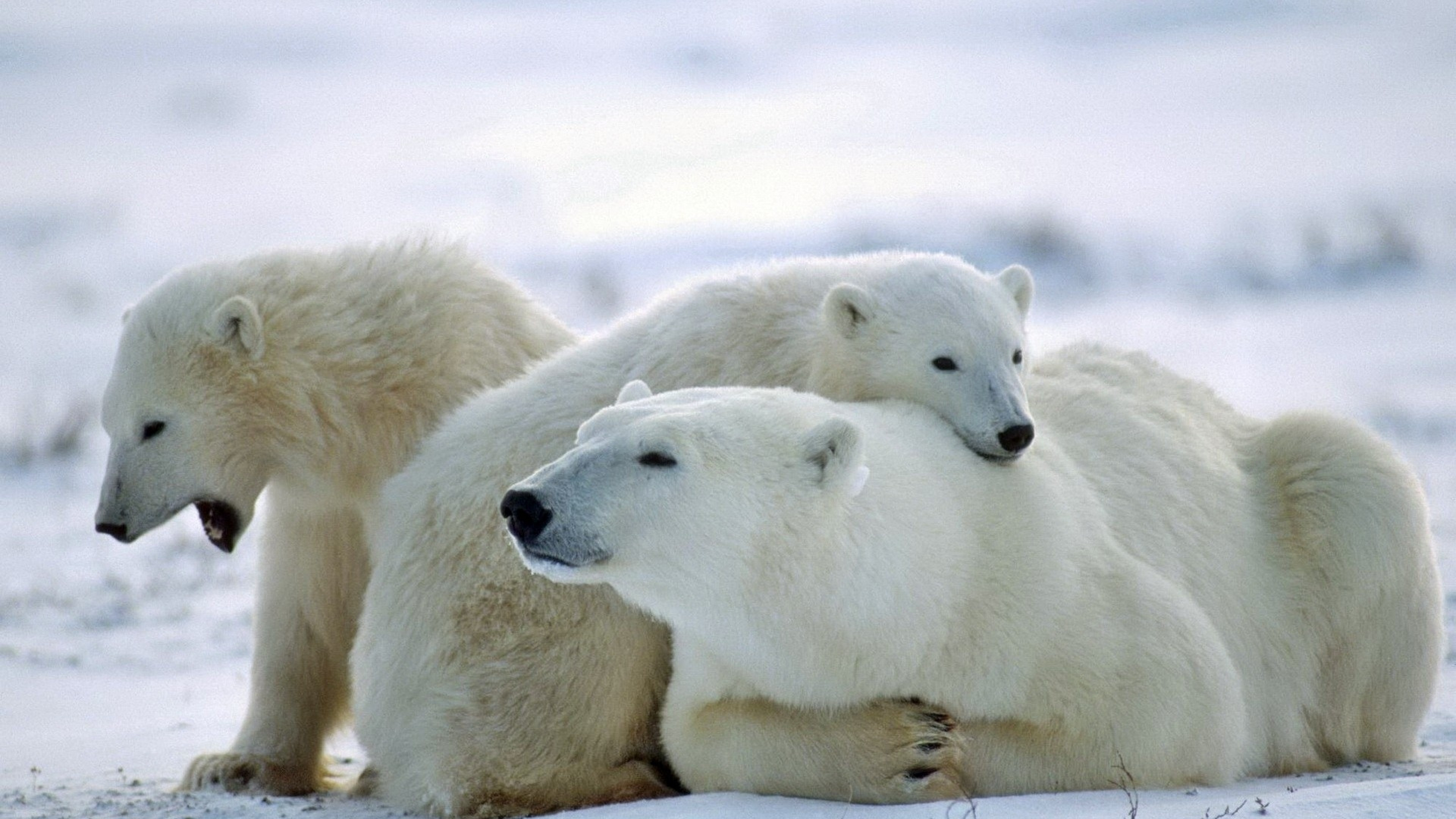 Wallpaper bear, polar bear, family, care, snow