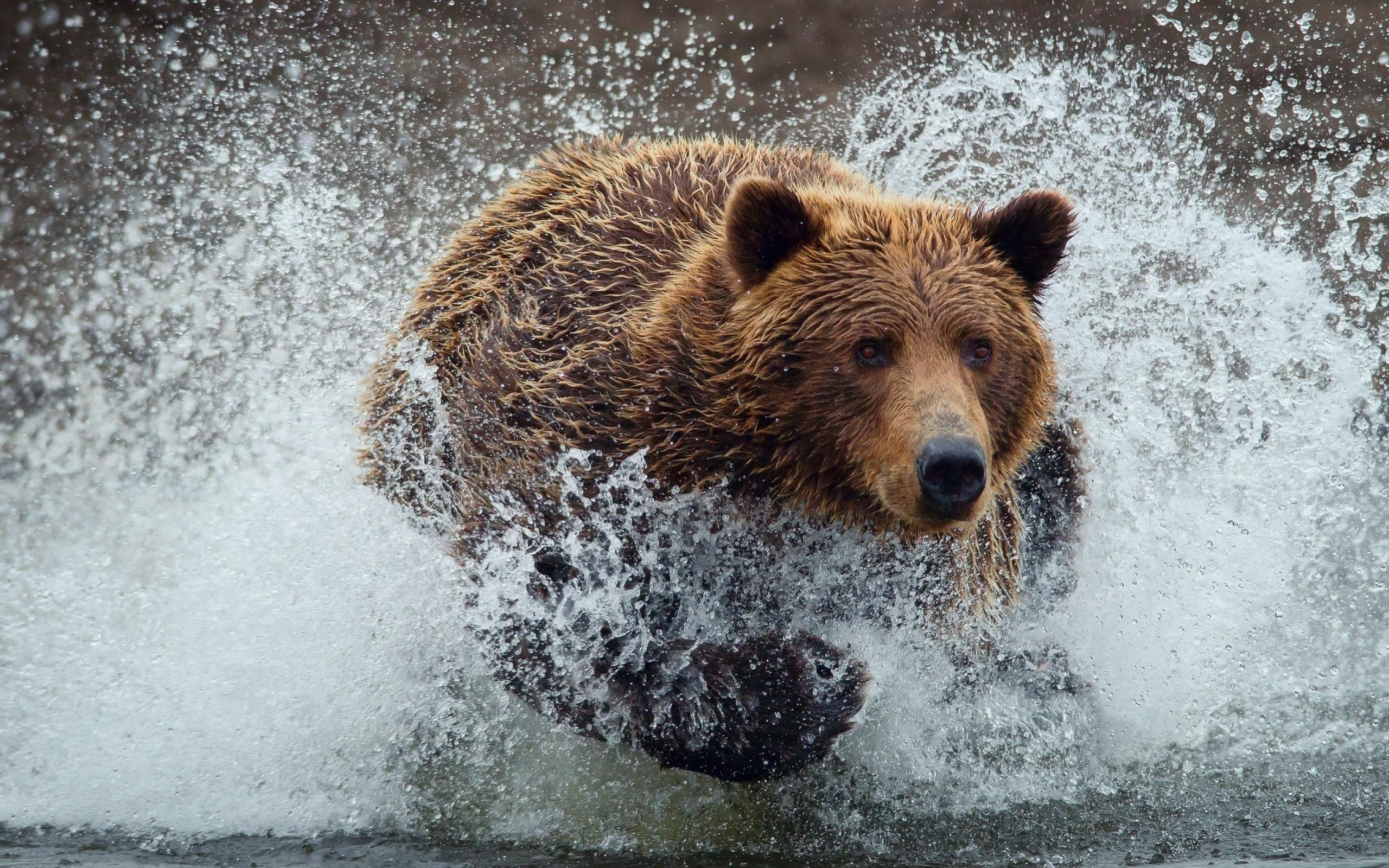 Grizzly Bear wallpaper | | 120630 | WallpaperUP