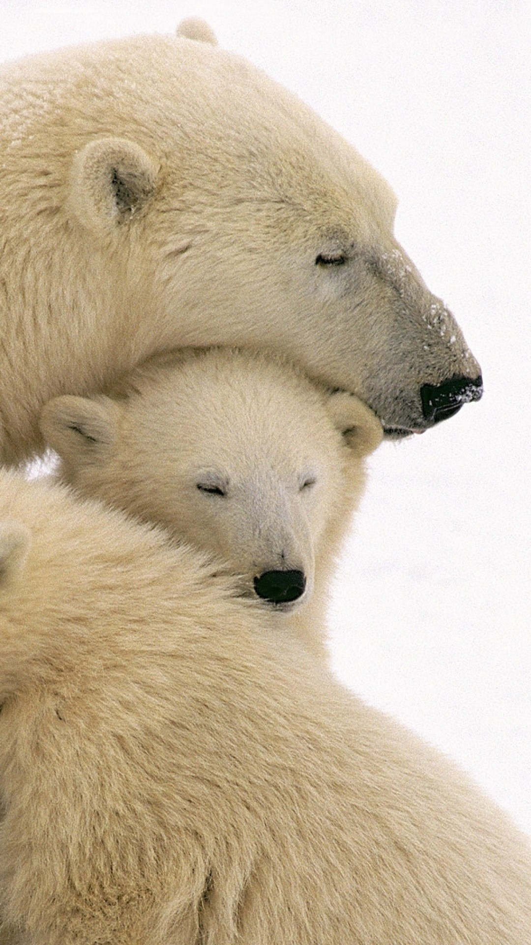 Wallpaper polar bears, care, family, babies
