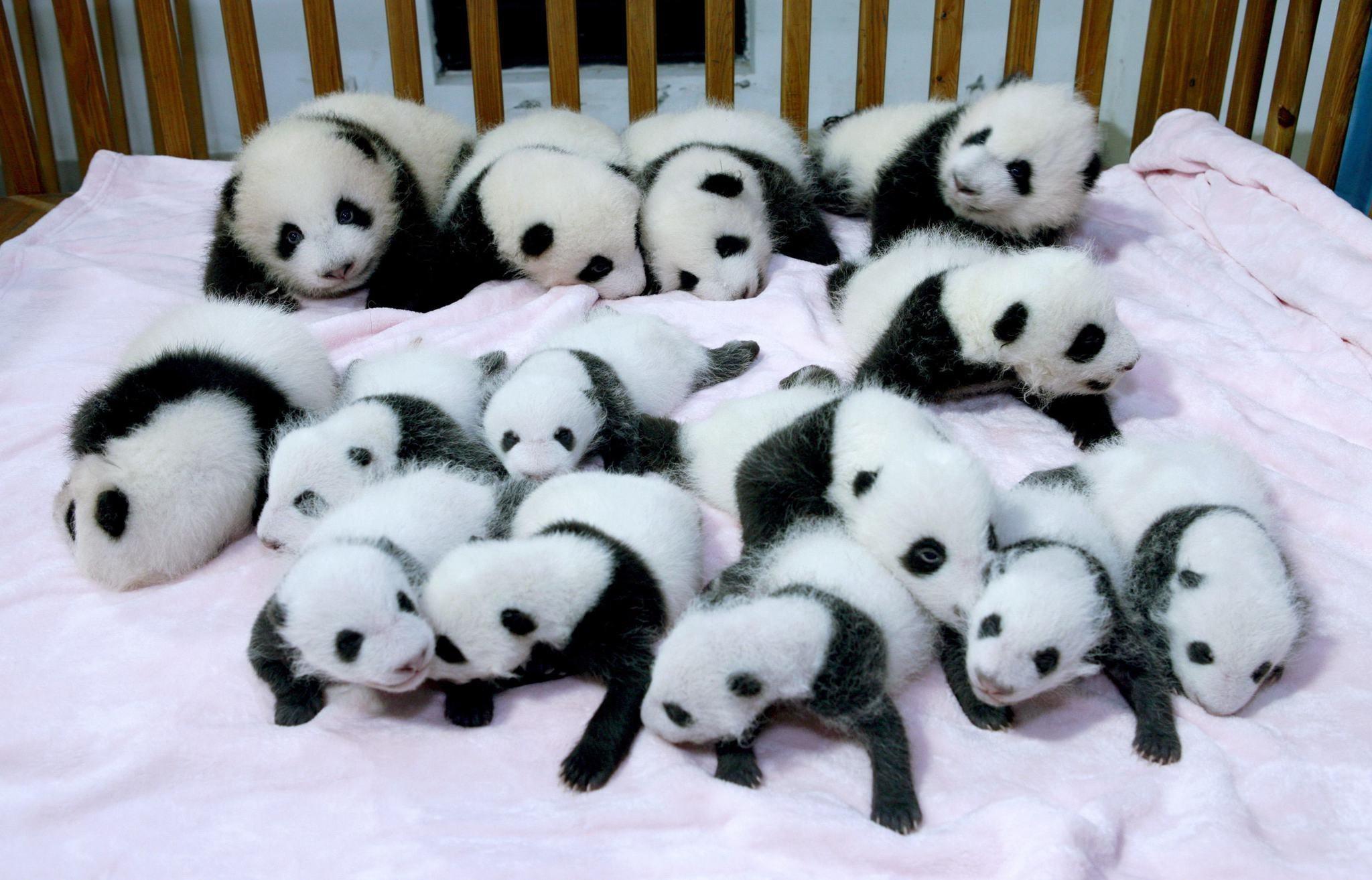 Panda Pandas Baer Bears Baby Cute Photo Download >
