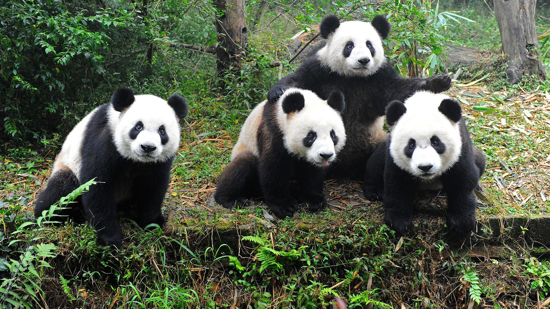 Baby panda cartoon wallpaper – photo#21