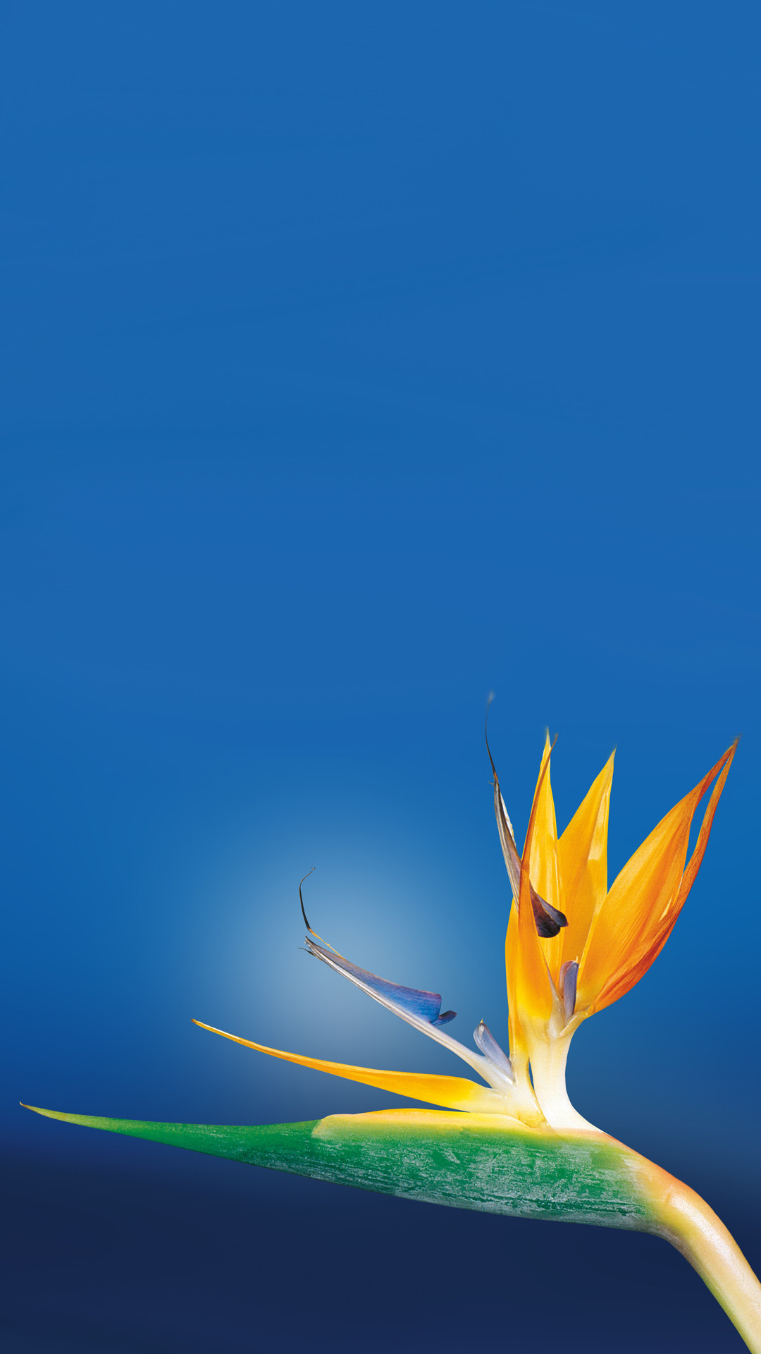 Bird Of Paradise Flower Close Up iPhone 6 Plus HD Wallpaper …