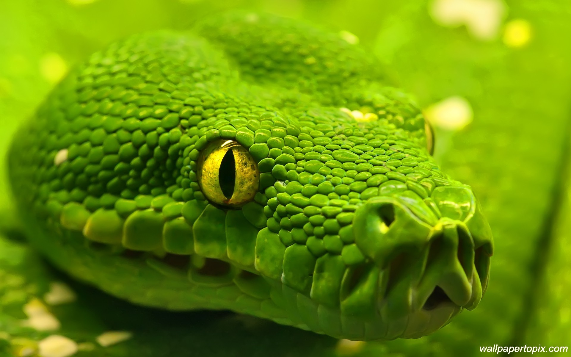 green-king-cobra-photos-snake-face-close-up- · Snake WallpaperHd …