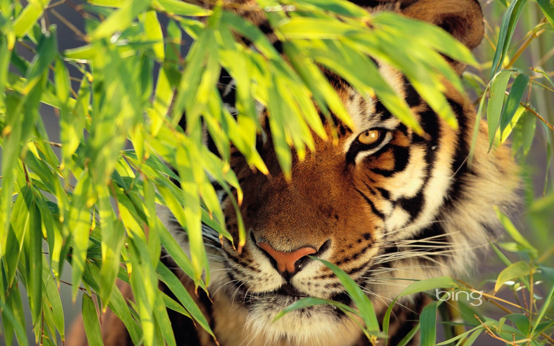 Tiger Images HD Photos | Live HD Wallpaper HQ Pictures .