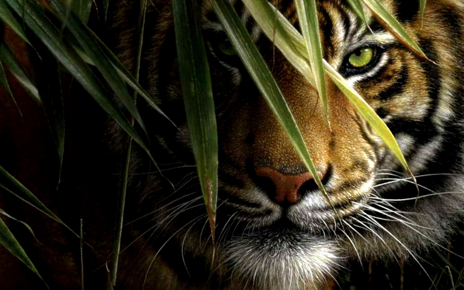 Tiger Wallpapers Images