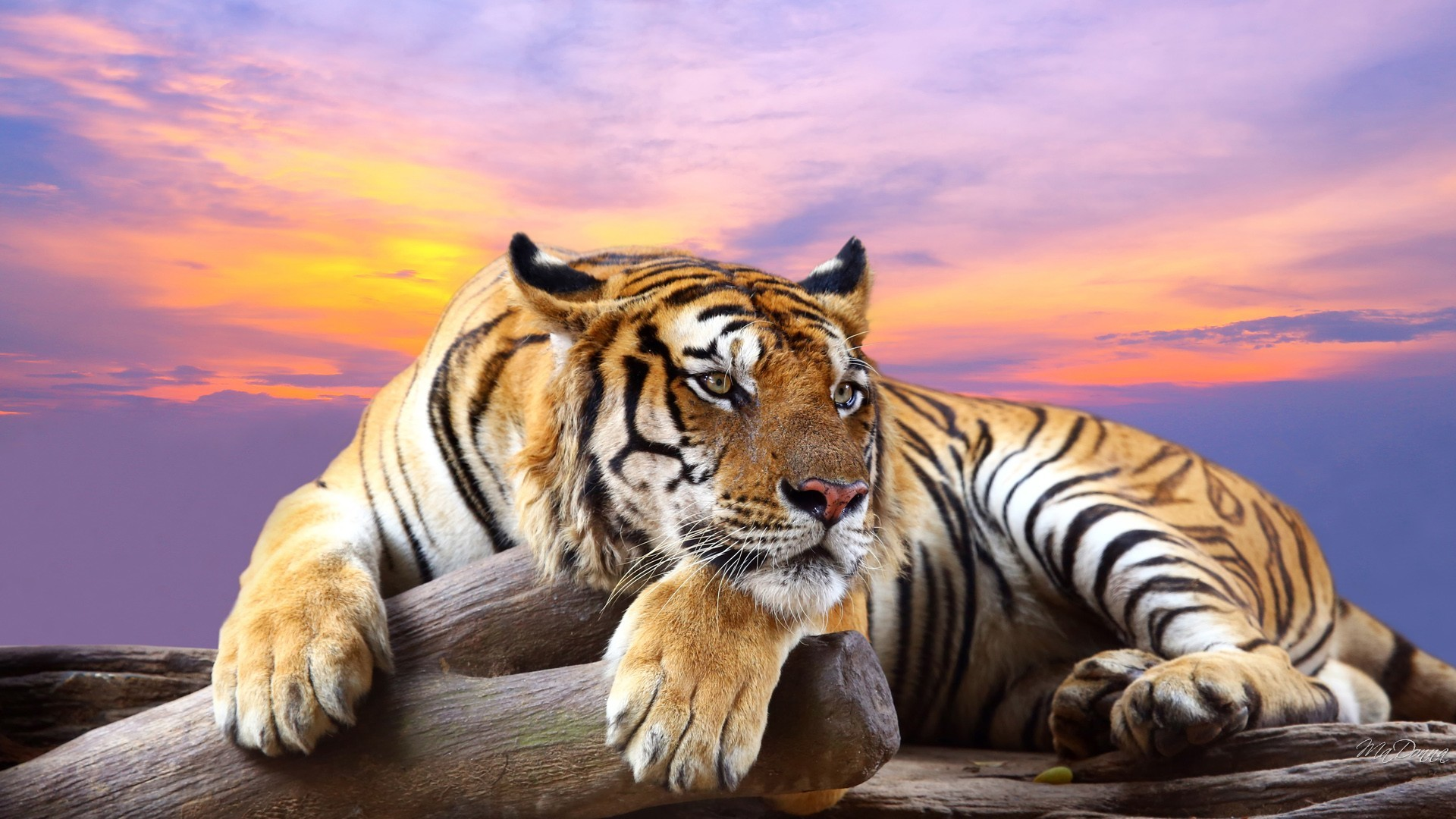 Tiger Picture …