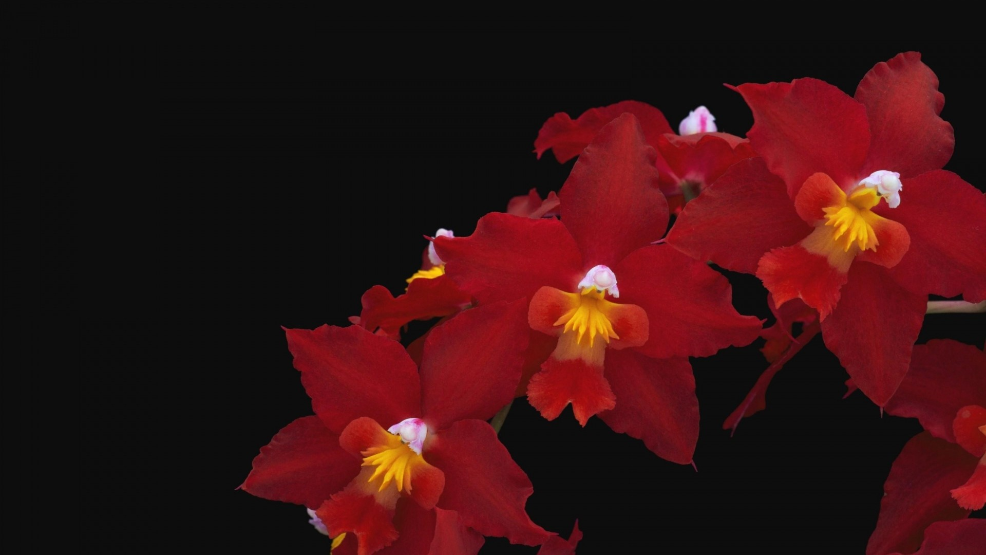 Wallpaper orchid, flower, red, thread, black background